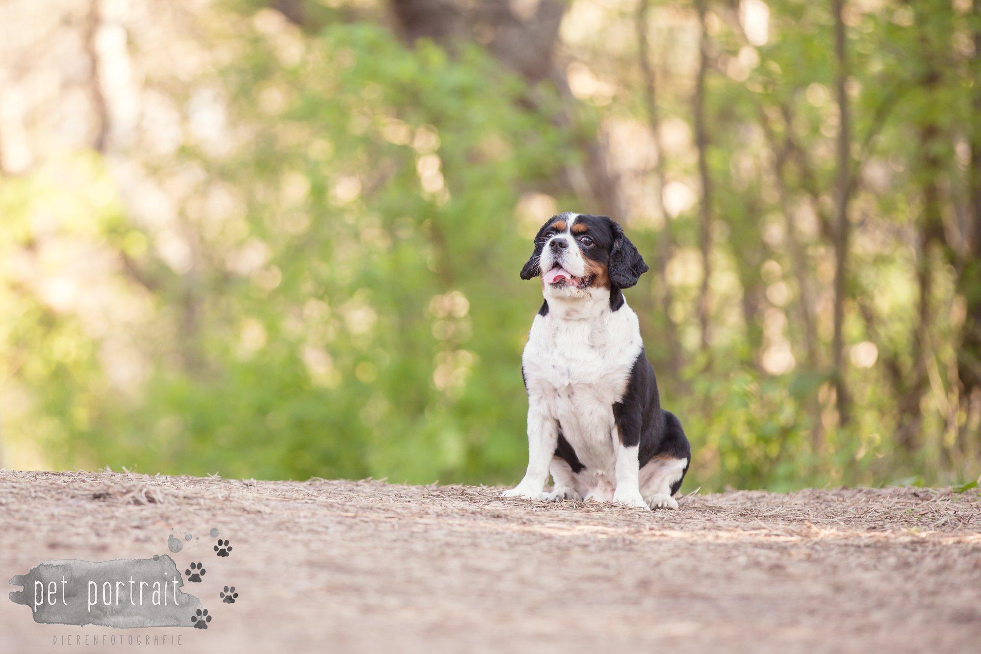 Hondenfotograaf Wassenaar - Cavalier King Charles Spaniel Pepper-3