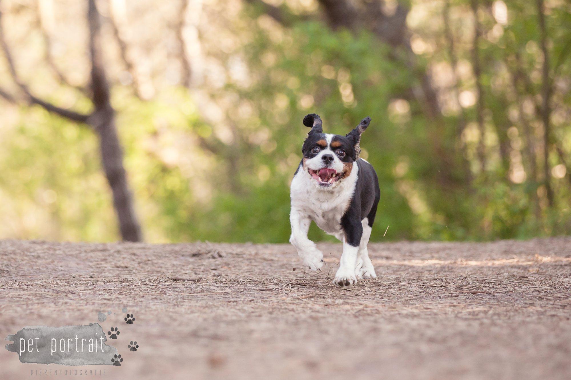 Hondenfotograaf Wassenaar - Cavalier King Charles Spaniel Pepper-4