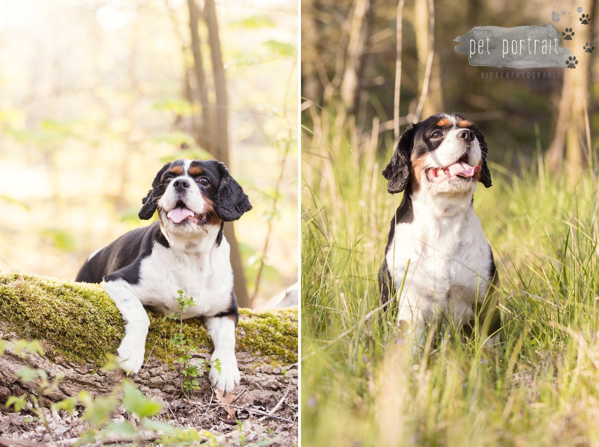 Hondenfotograaf Wassenaar - Cavalier King Charles Spaniel Pepper-5
