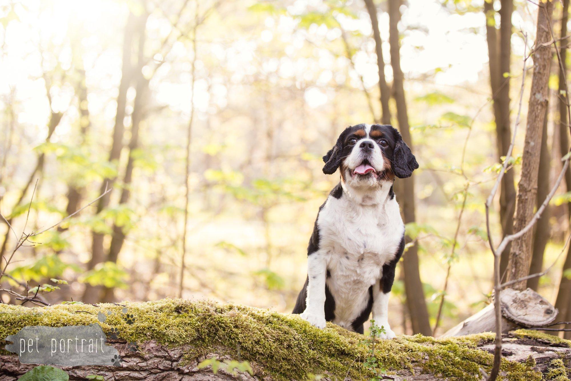 Hondenfotograaf Wassenaar - Cavalier King Charles Spaniel Pepper-6