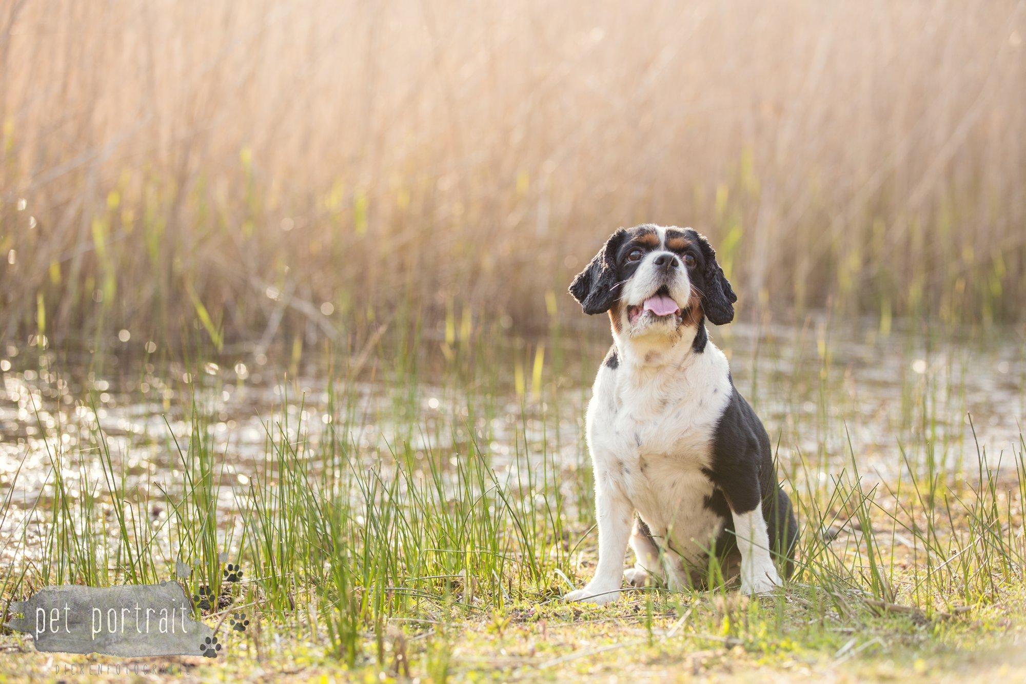 Hondenfotograaf Wassenaar - Cavalier King Charles Spaniel Pepper-7