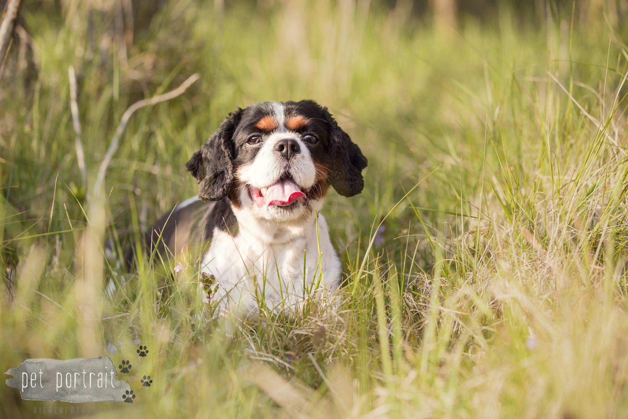 Hondenfotograaf Wassenaar - Cavalier King Charles Spaniel Pepper-9