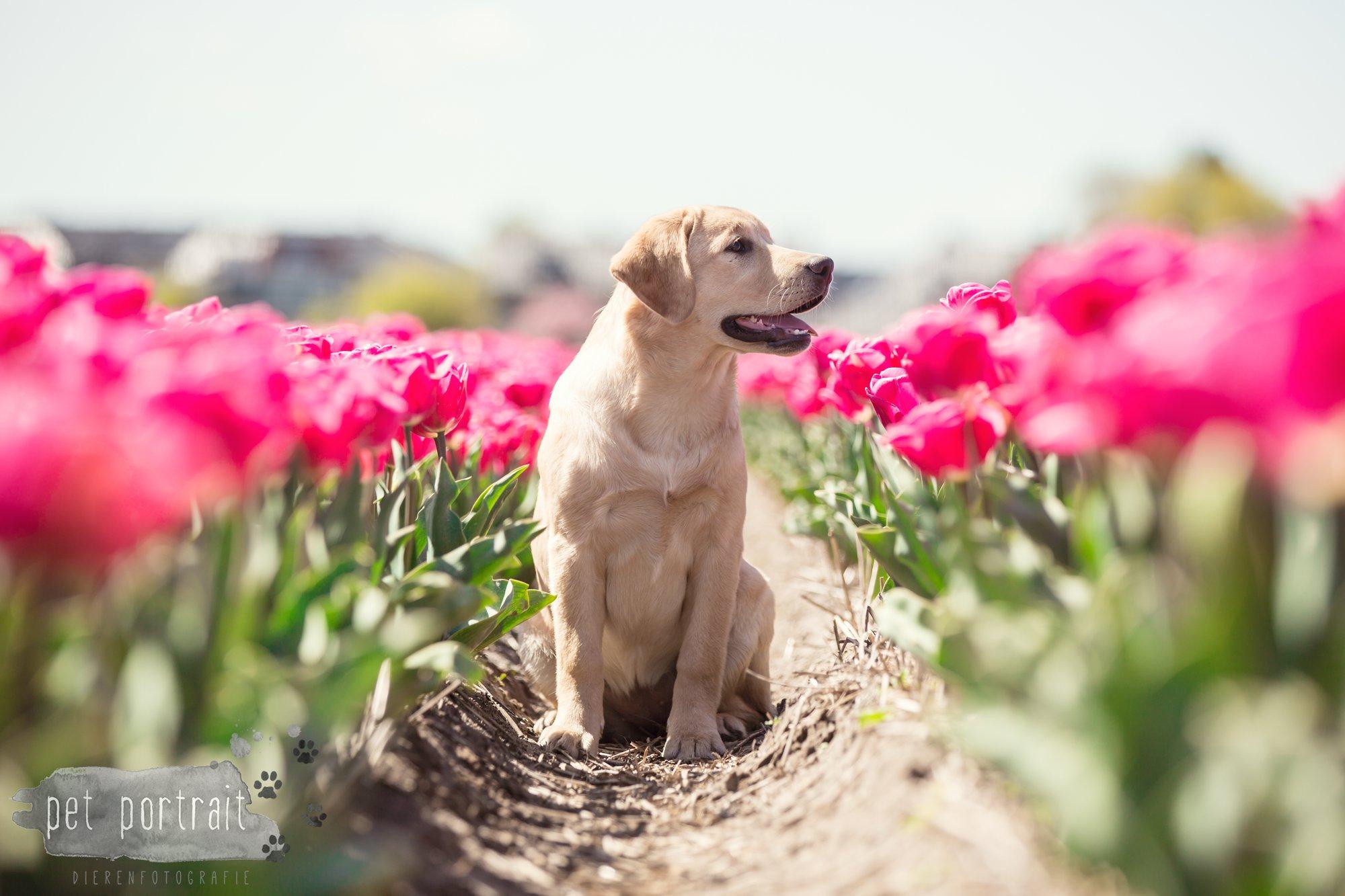 Hondenfotograaf Hillegom - Labradors tussen de tulpen-1