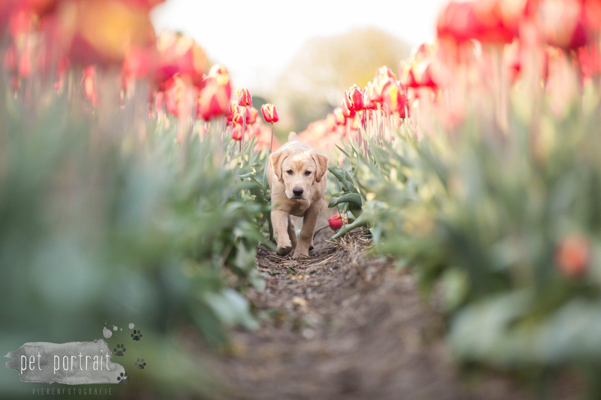 Hondenfotograaf Hillegom - Labradors tussen de tulpen-10