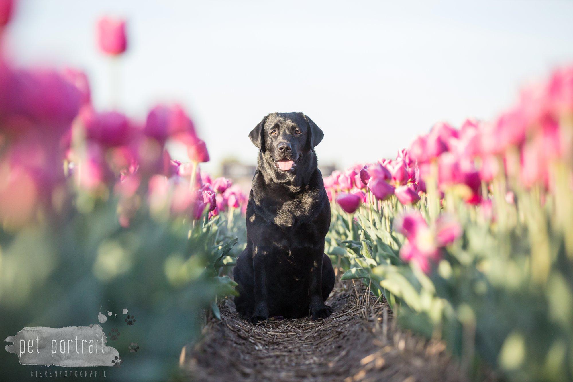 Hondenfotograaf Hillegom - Labradors tussen de tulpen-11