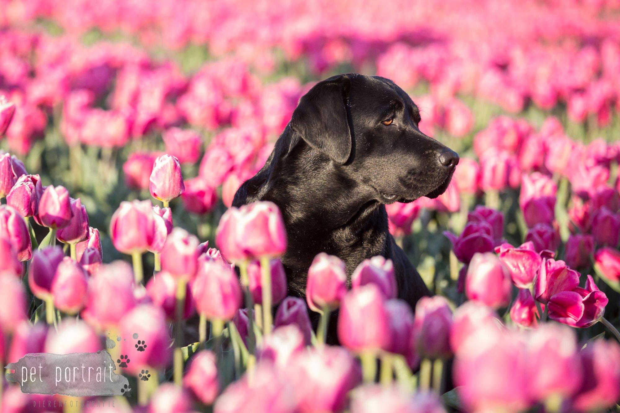 Hondenfotograaf Hillegom - Labradors tussen de tulpen-12