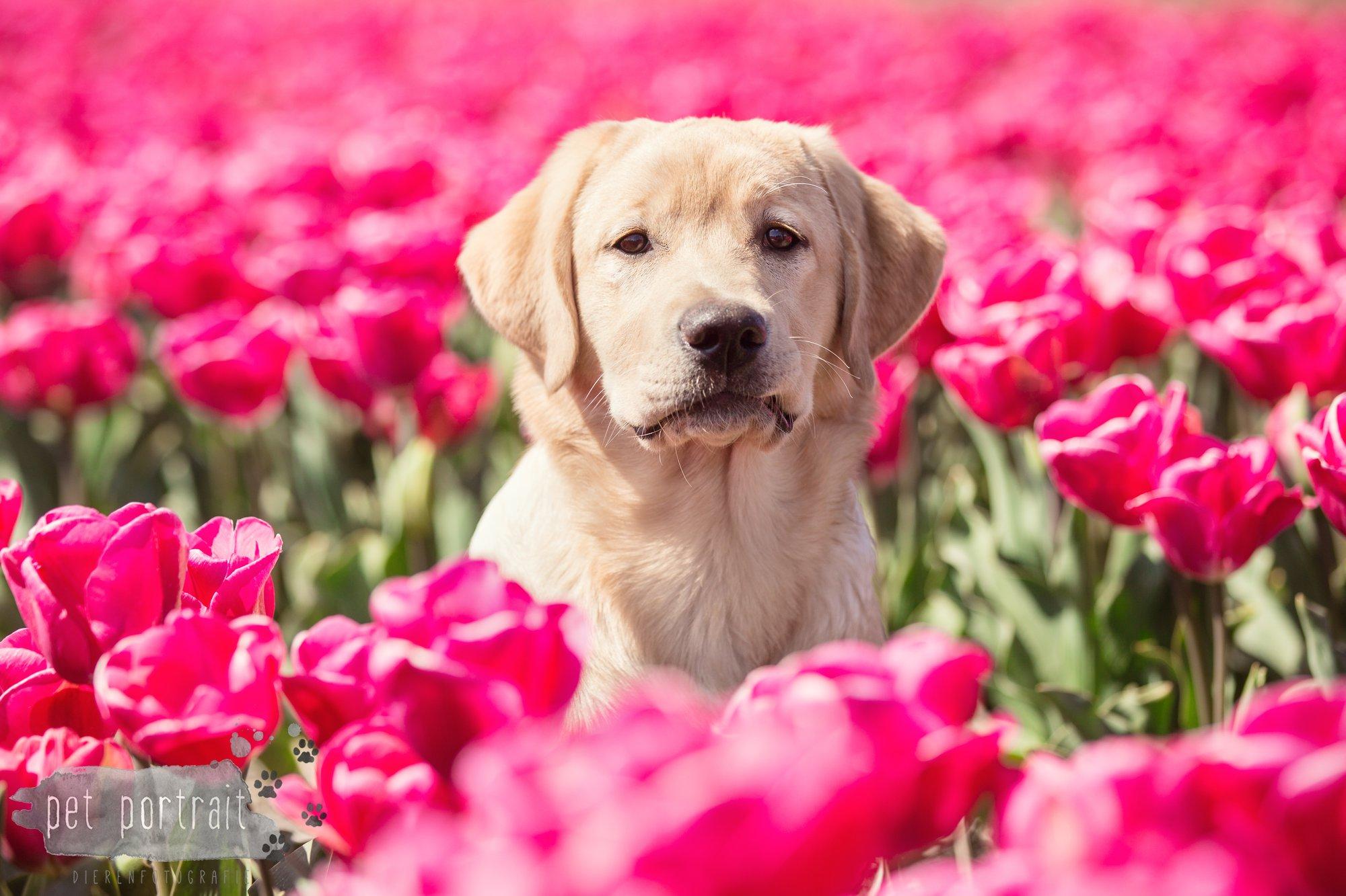 Hondenfotograaf Hillegom - Labradors tussen de tulpen-2