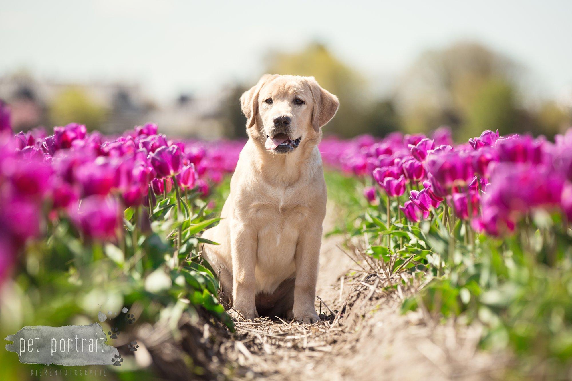 Hondenfotograaf Hillegom - Labradors tussen de tulpen-3