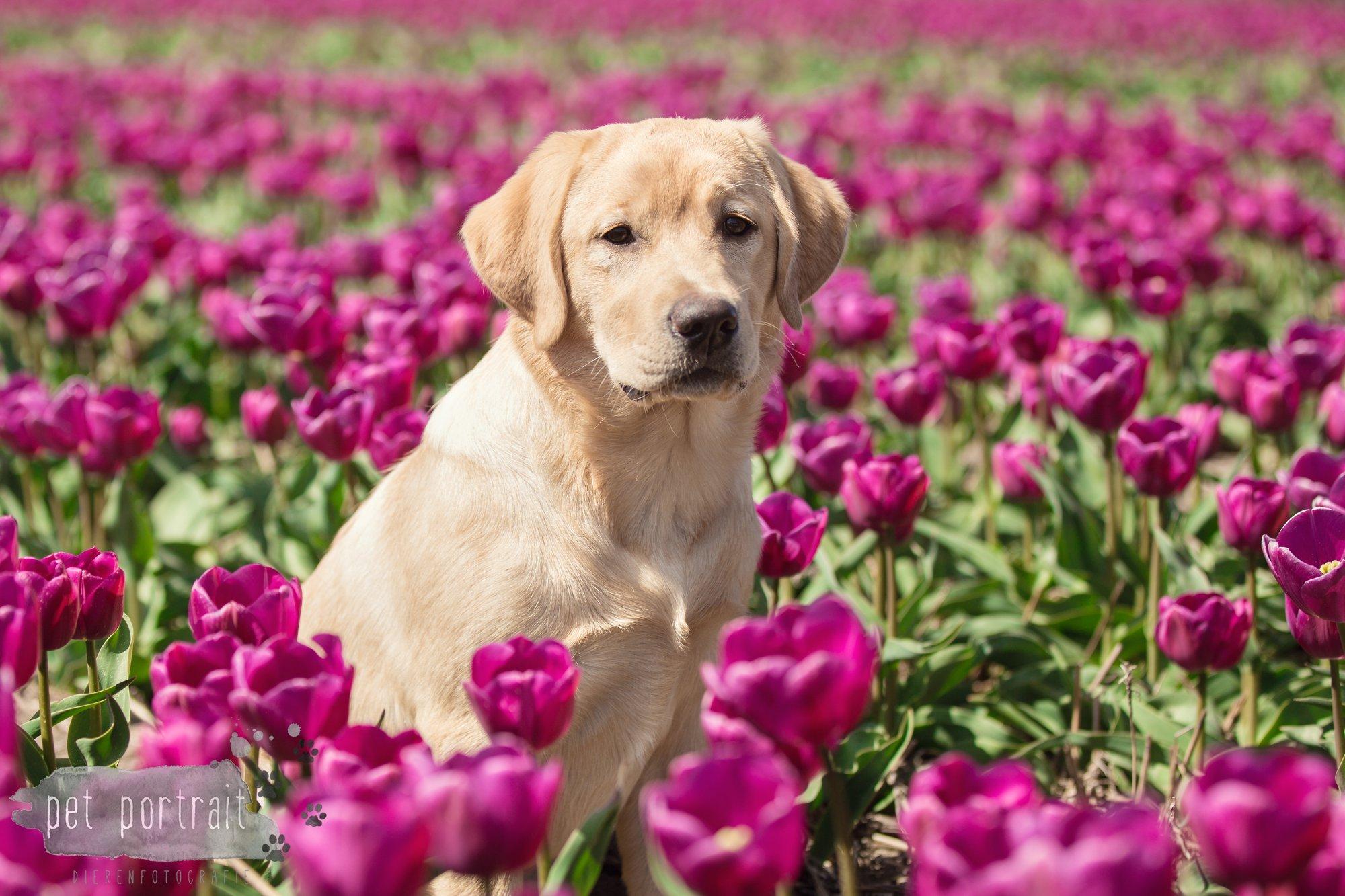 Hondenfotograaf Hillegom - Labradors tussen de tulpen-4