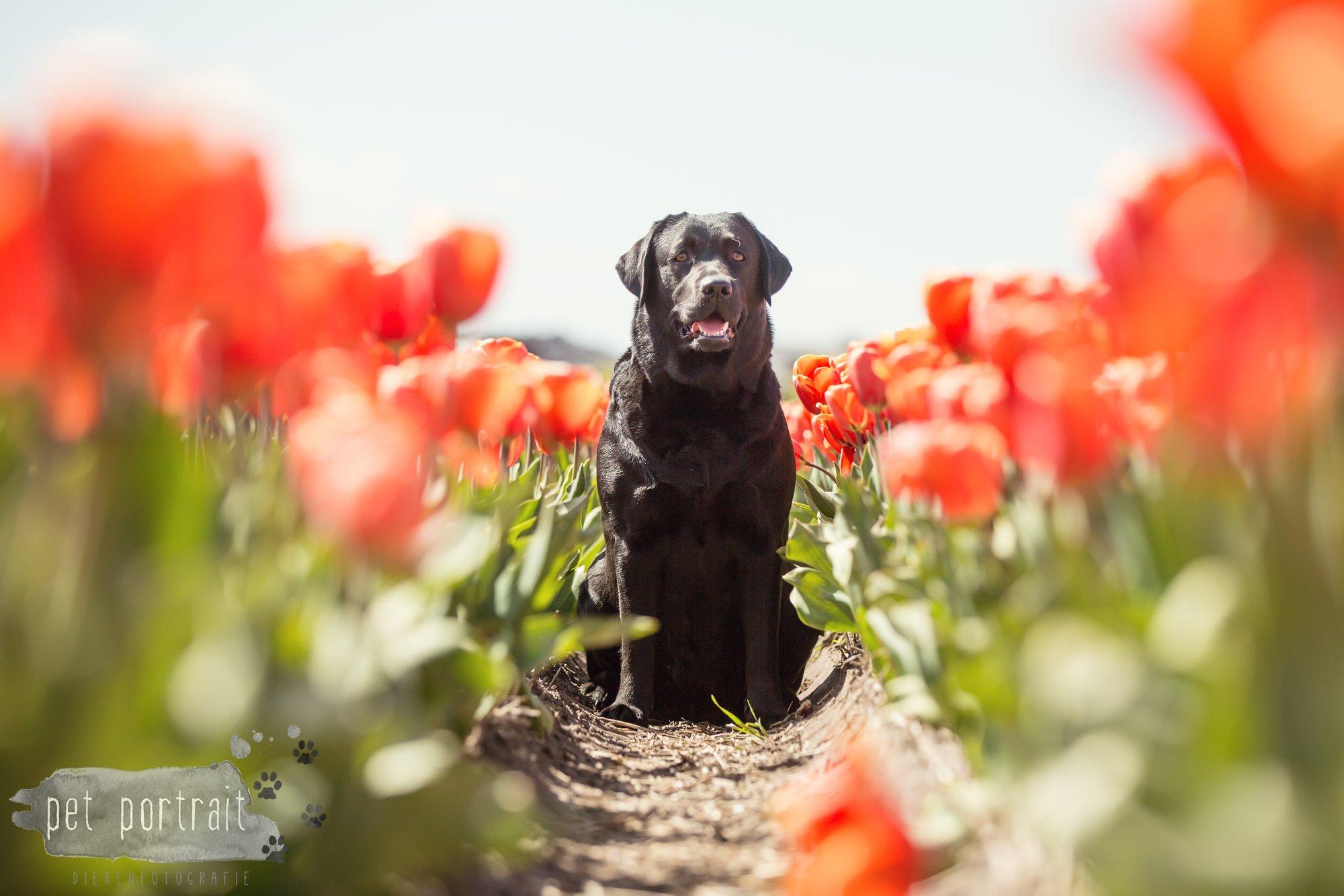 Hondenfotograaf Hillegom - Labradors tussen de tulpen-5