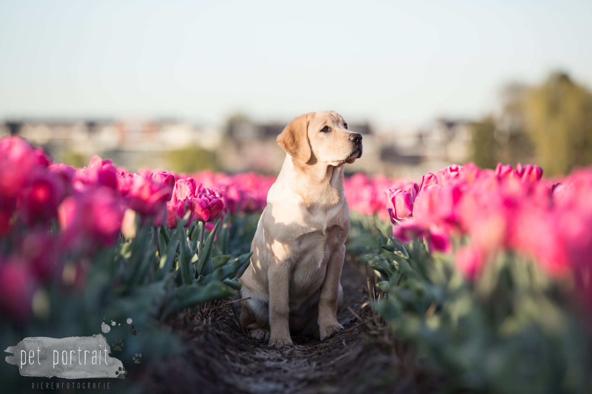 Hondenfotograaf Hillegom - Labradors tussen de tulpen-7