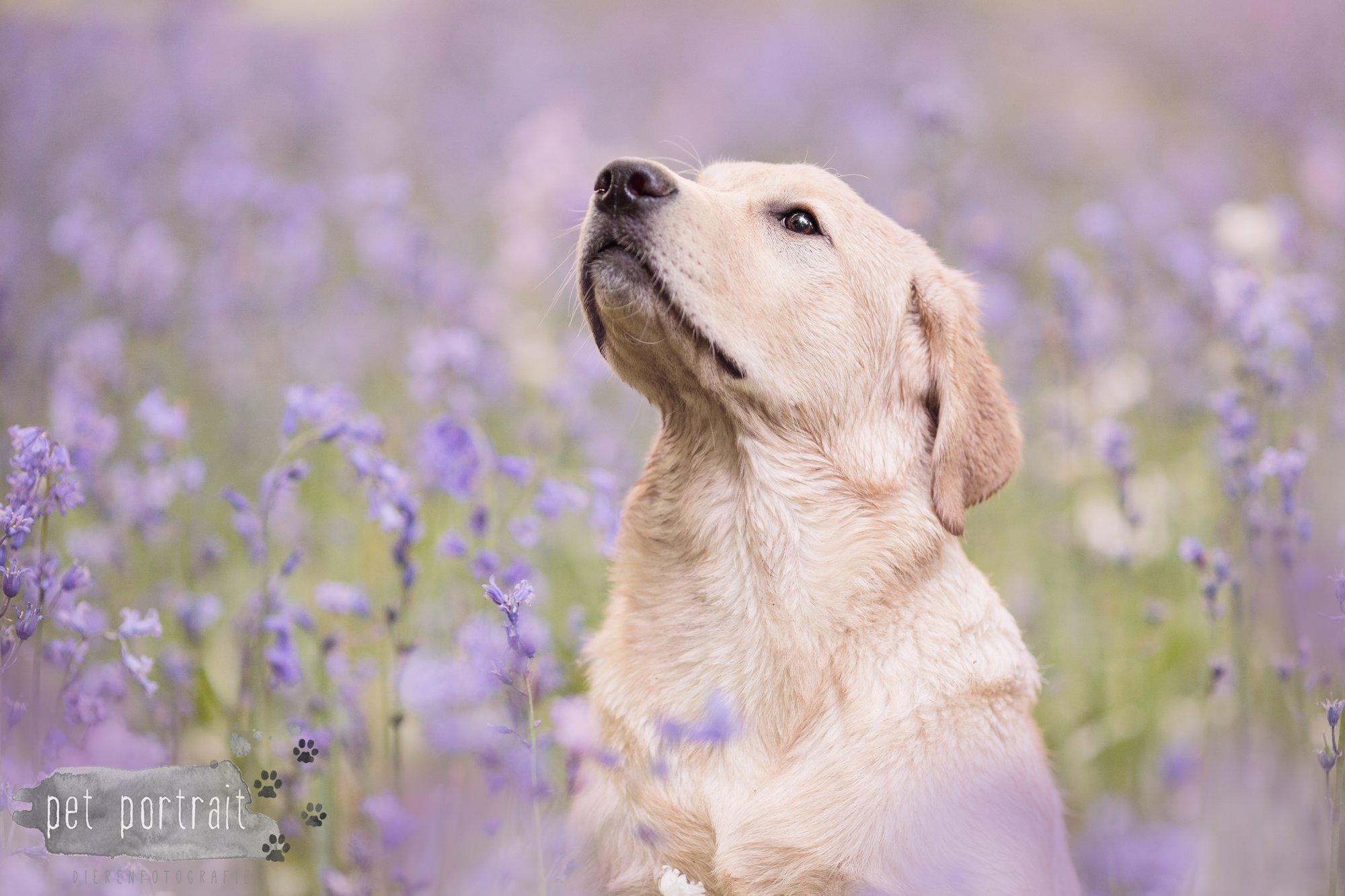 Hondenfotograaf Leiden - Labradors Juno en Freyja - Maand mei