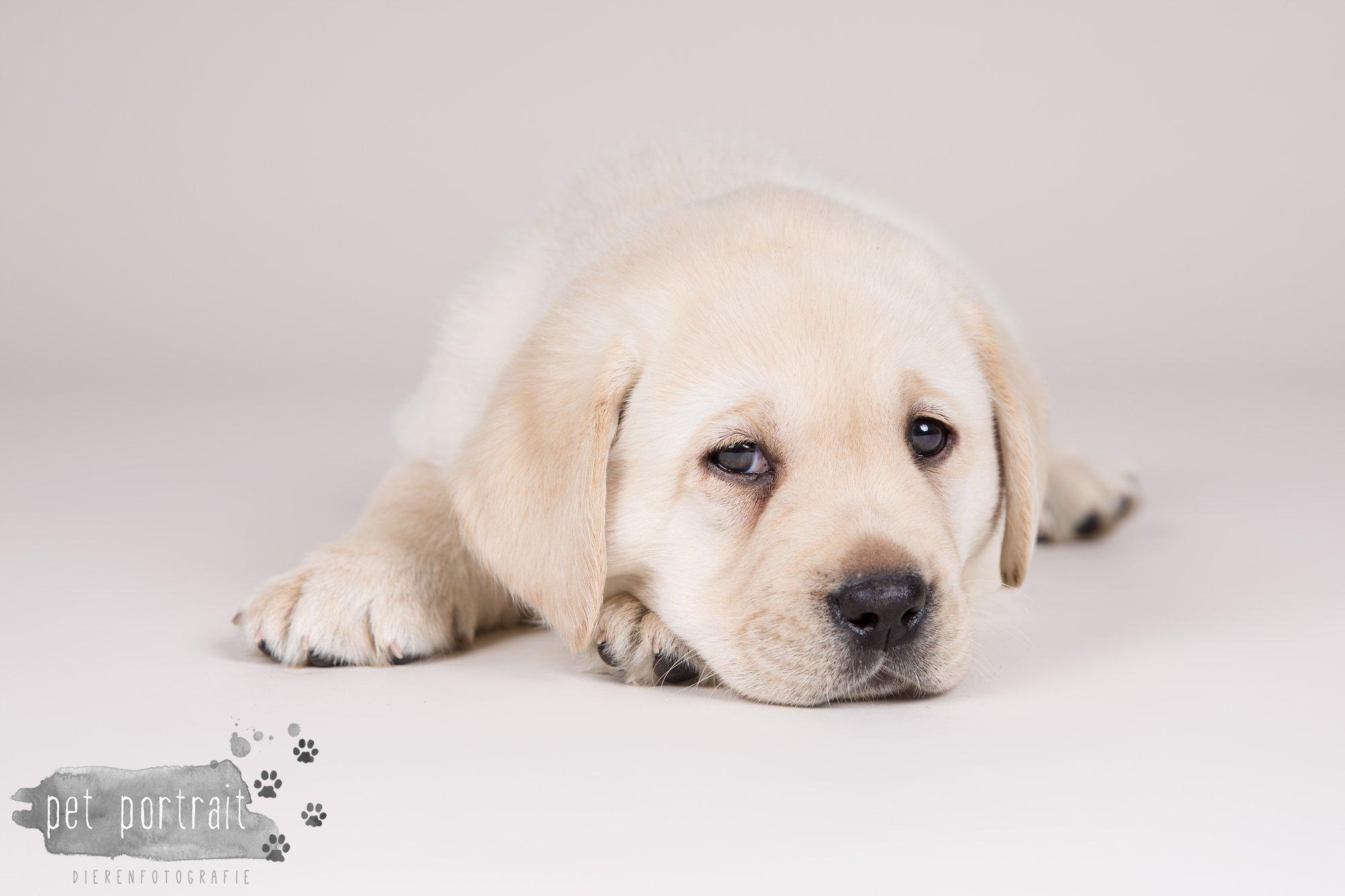 Hondenfotograaf Hillegom - Nestfotoshoot voor Labrador pups-10