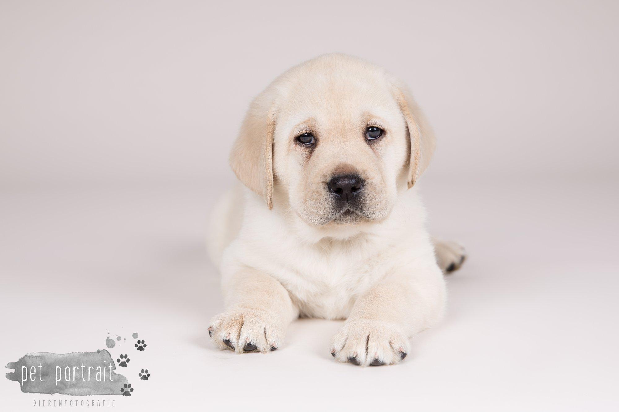 Hondenfotograaf Hillegom - Nestfotoshoot voor Labrador pups-11