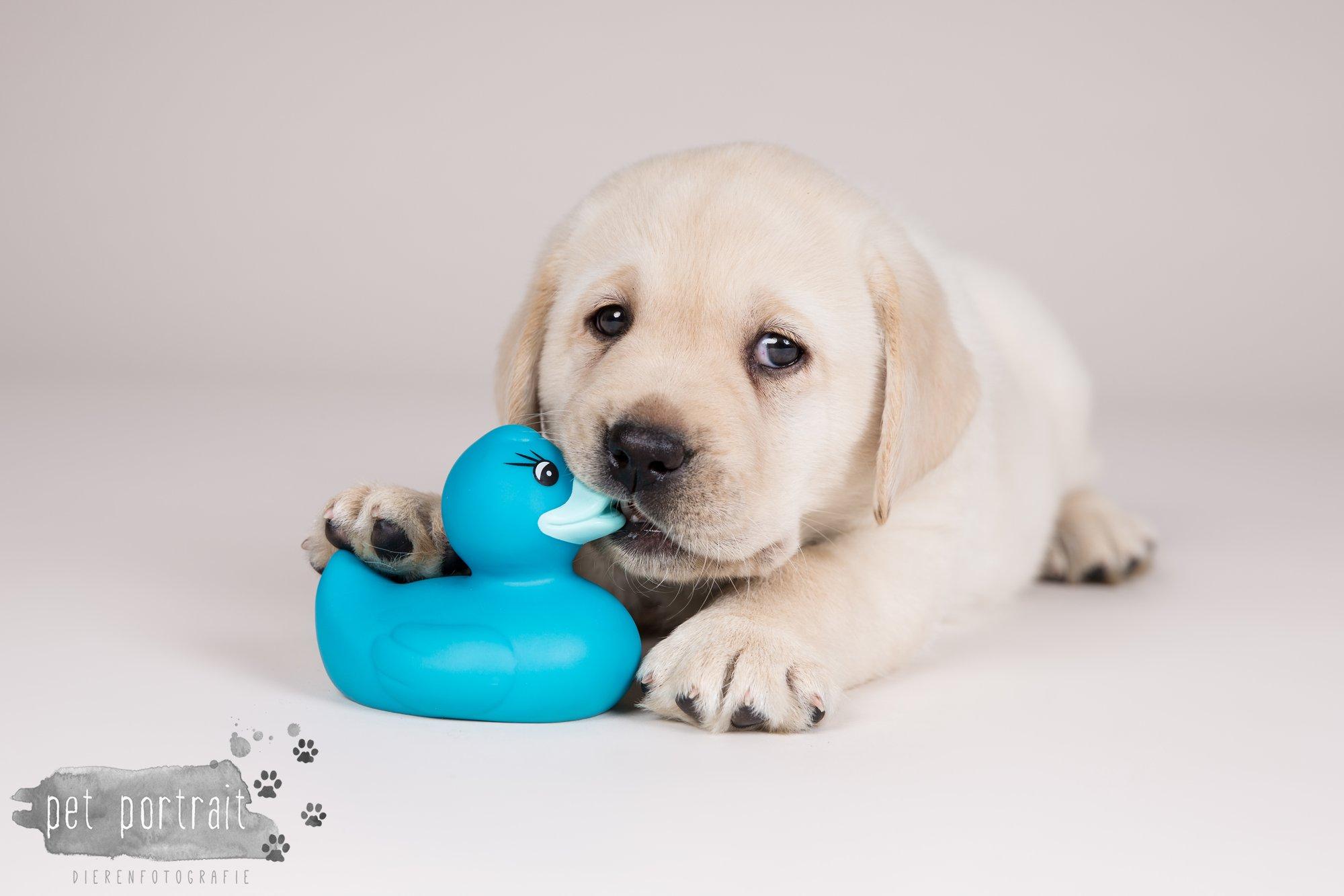 Hondenfotograaf Hillegom - Nestfotoshoot voor Labrador pups-12
