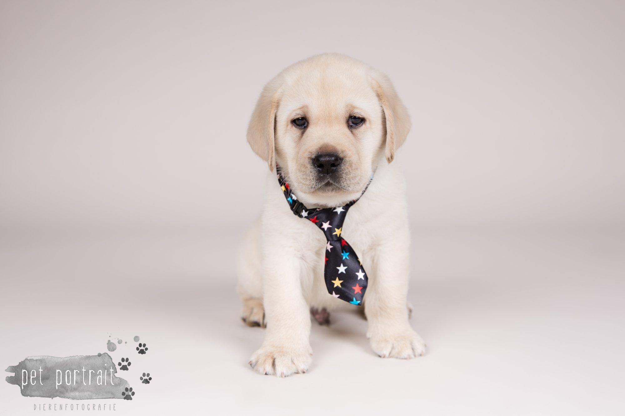 Hondenfotograaf Hillegom - Nestfotoshoot voor Labrador pups-13