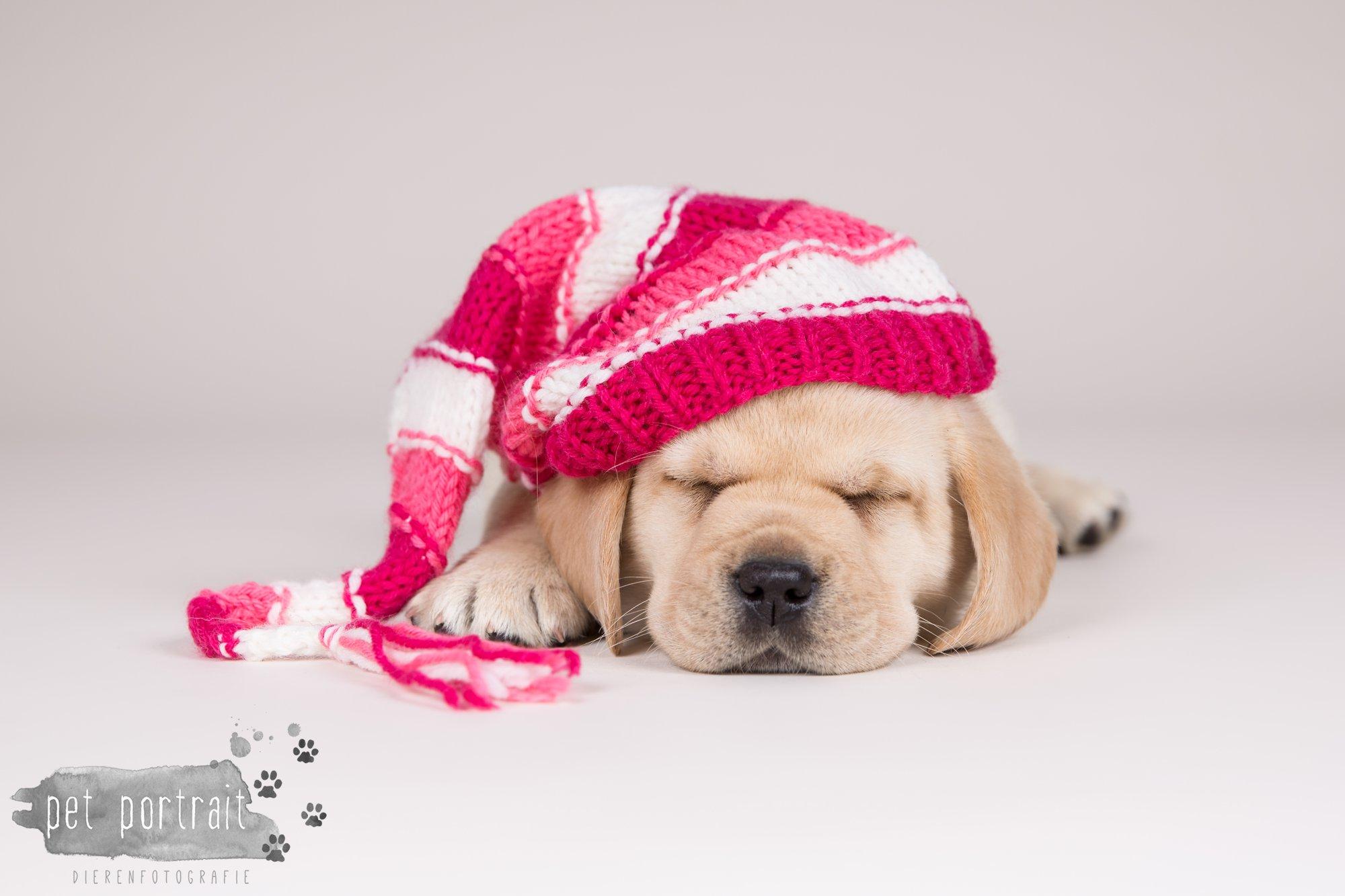 Hondenfotograaf Hillegom - Nestfotoshoot voor Labrador pups-14