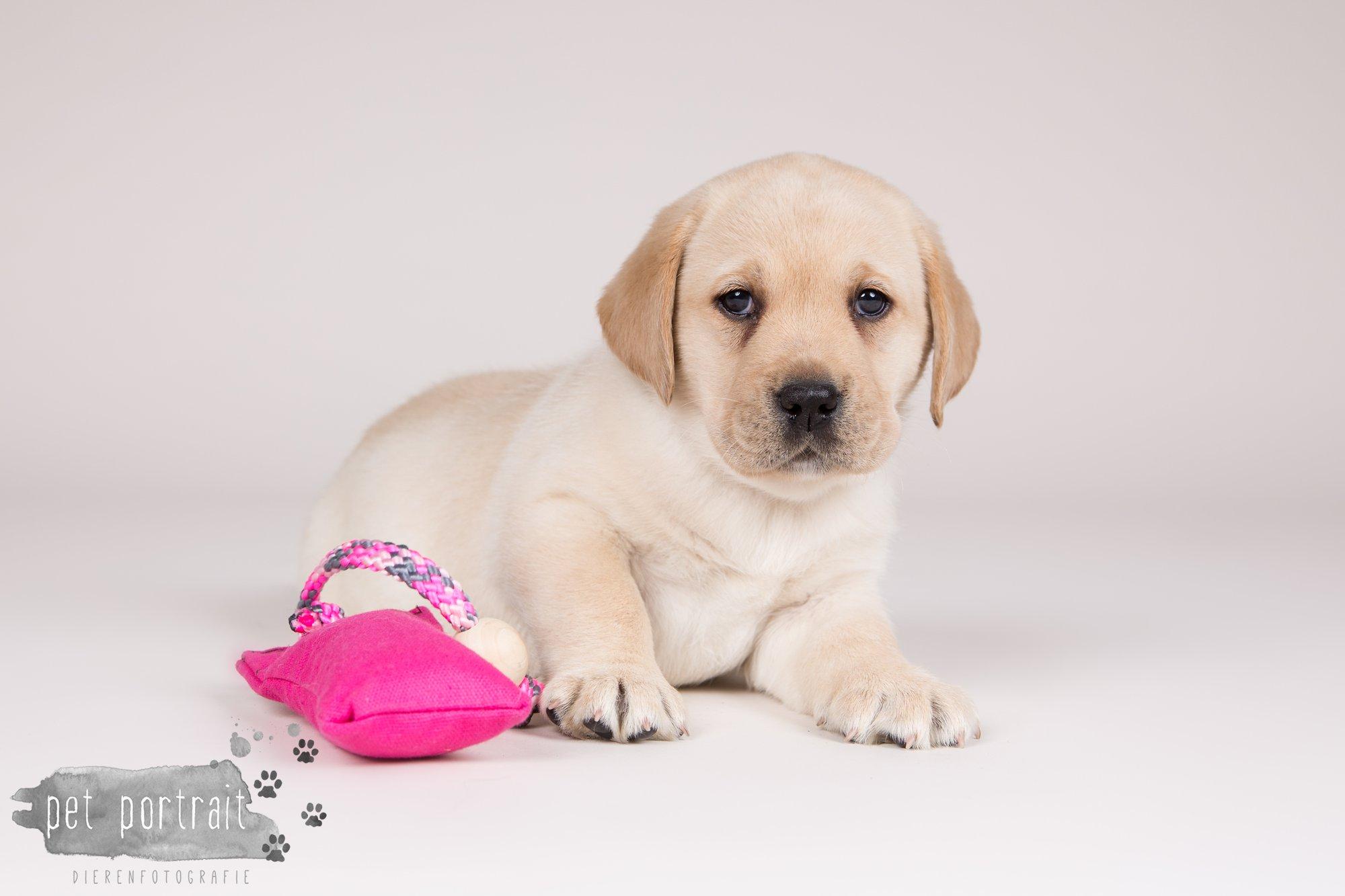 Hondenfotograaf Hillegom - Nestfotoshoot voor Labrador pups-15
