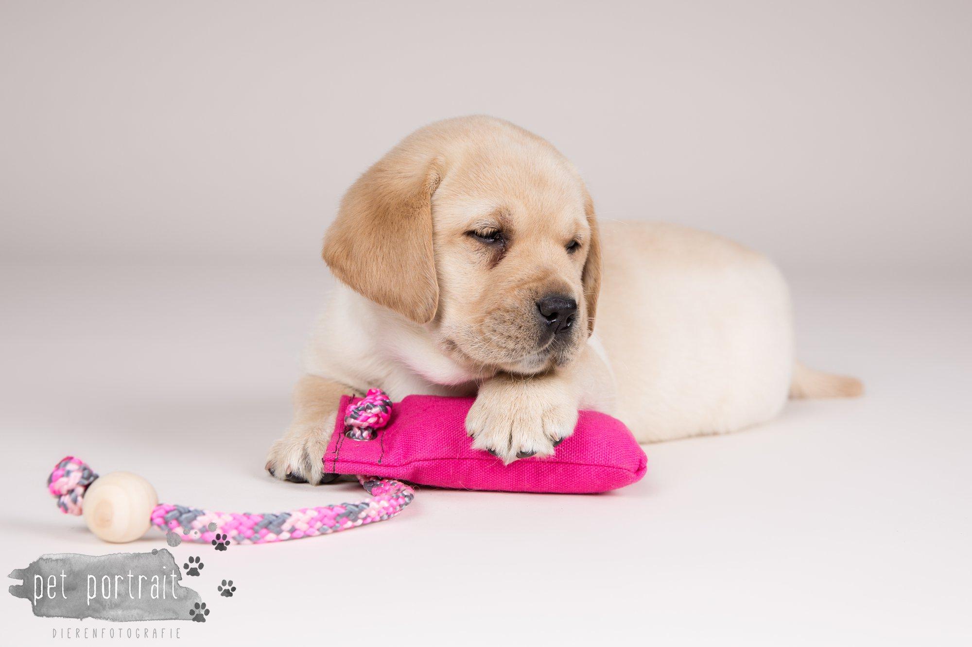 Hondenfotograaf Hillegom - Nestfotoshoot voor Labrador pups-16