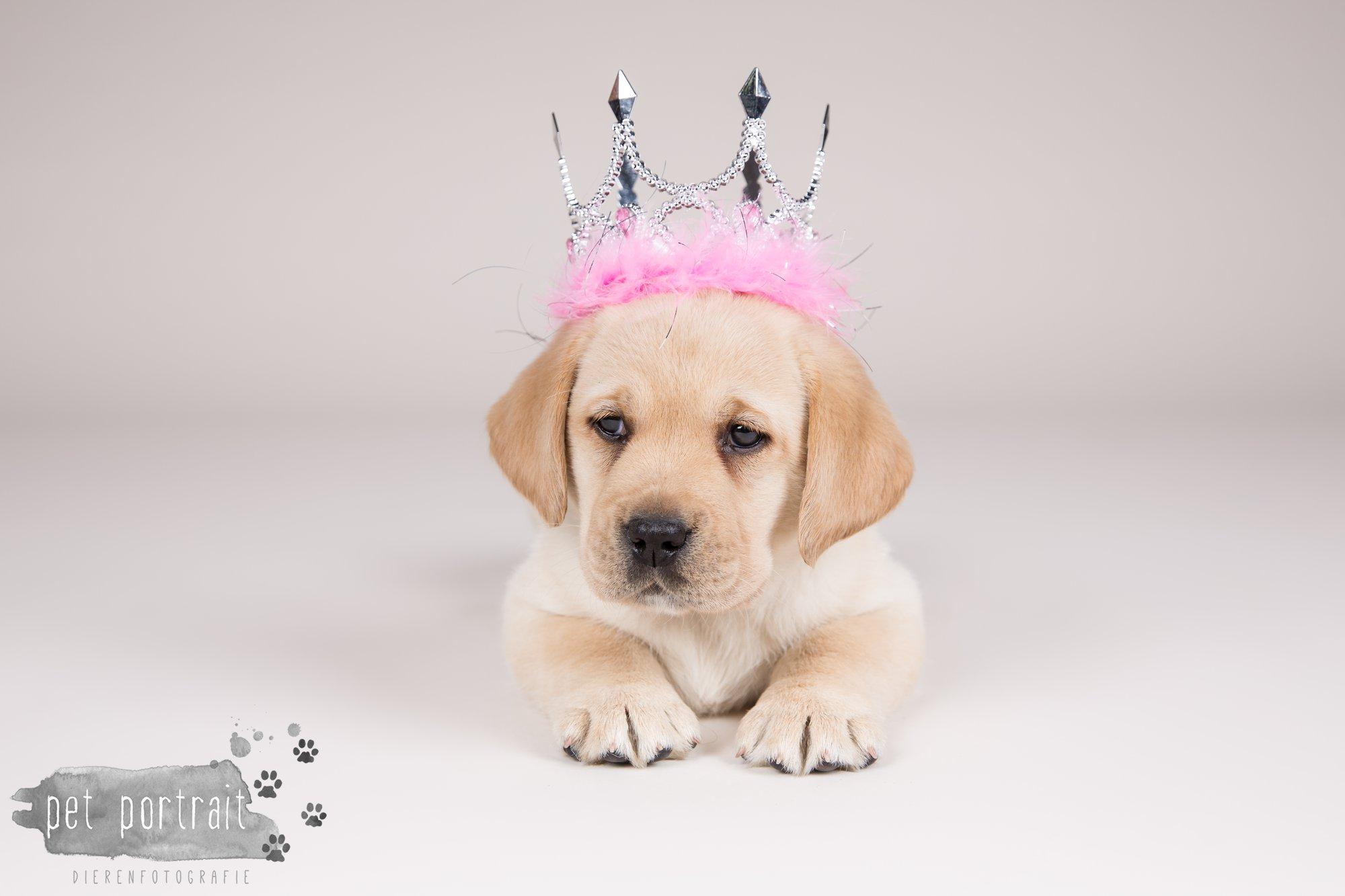 Hondenfotograaf Hillegom - Nestfotoshoot voor Labrador pups-17