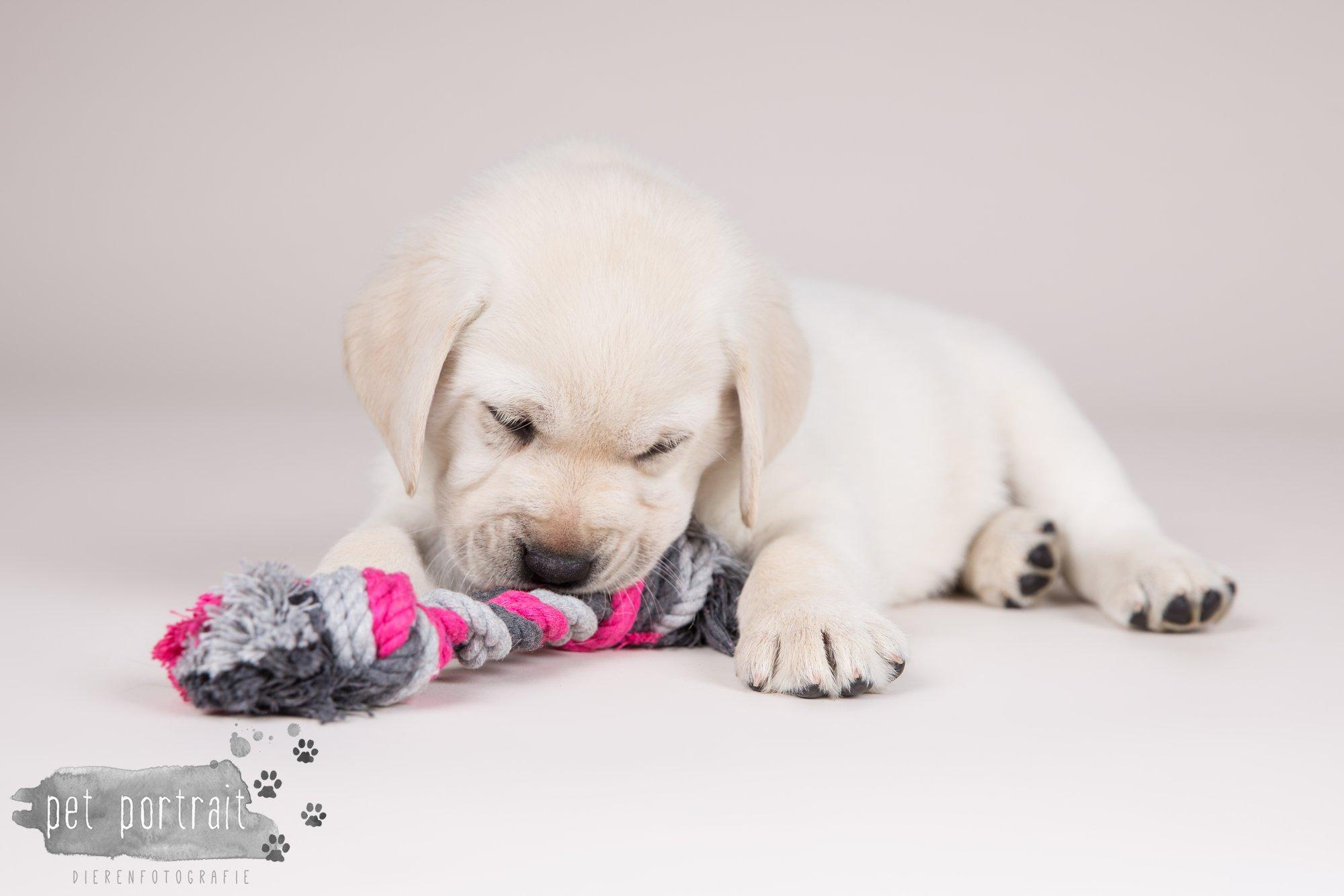 Hondenfotograaf Hillegom - Nestfotoshoot voor Labrador pups-18