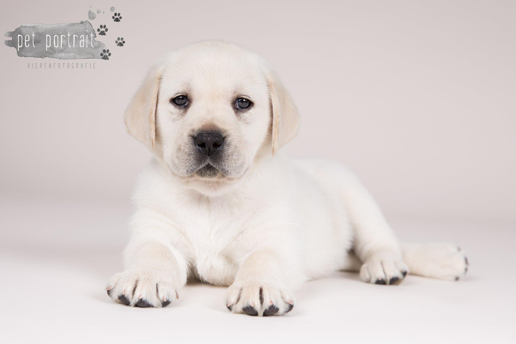Hondenfotograaf Hillegom - Nestfotoshoot voor Labrador pups-19