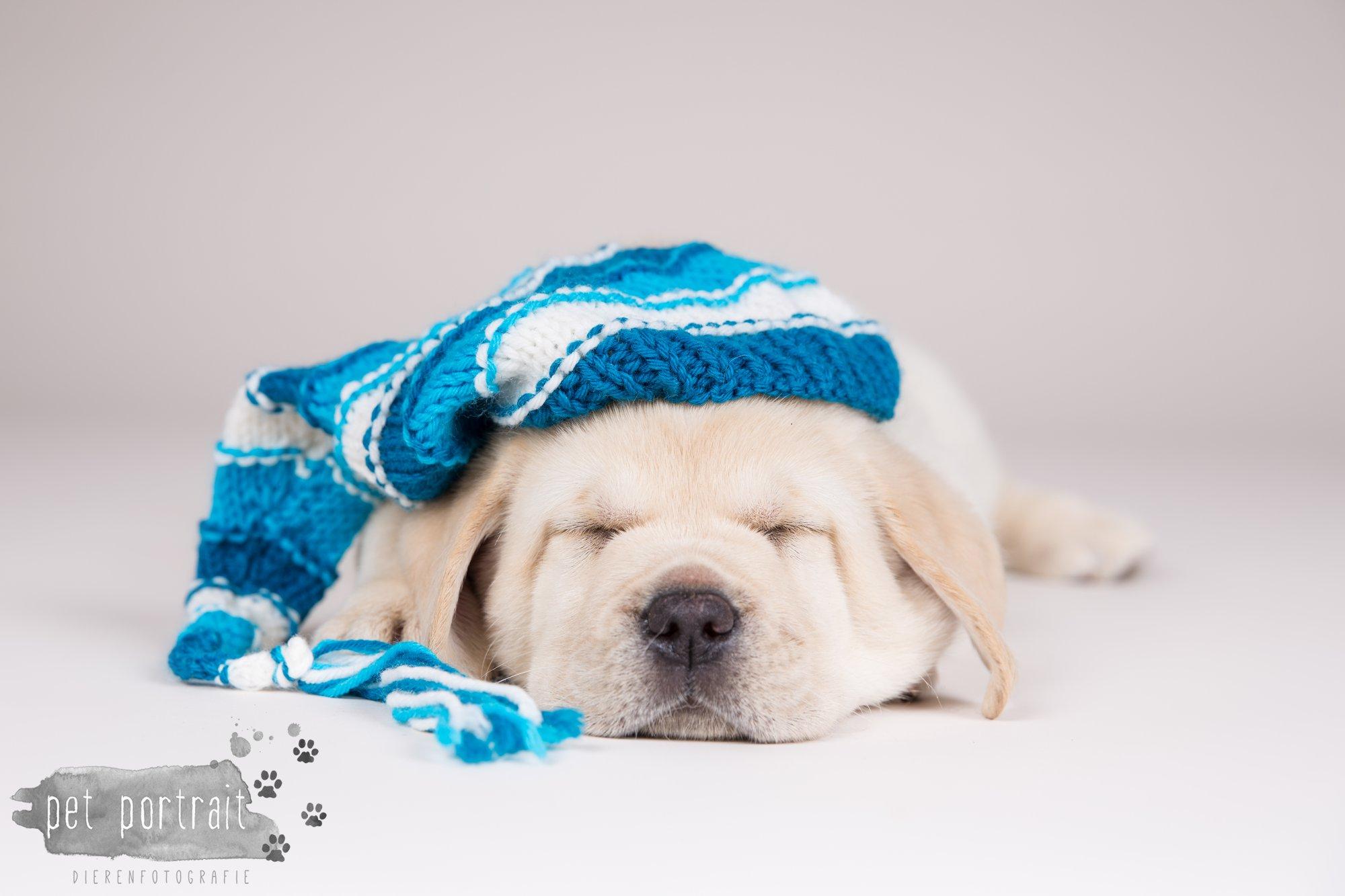 Hondenfotograaf Hillegom - Nestfotoshoot voor Labrador pups-2