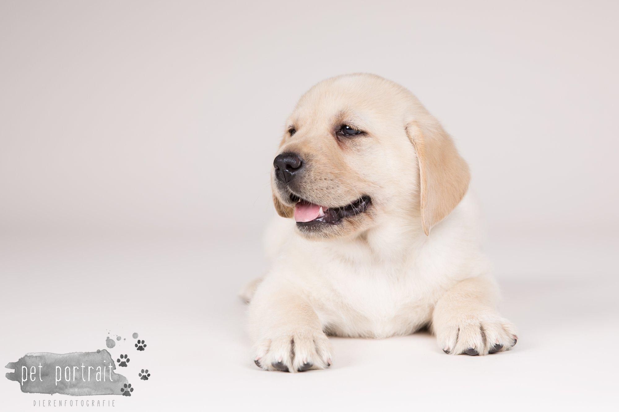 Hondenfotograaf Hillegom - Nestfotoshoot voor Labrador pups-20