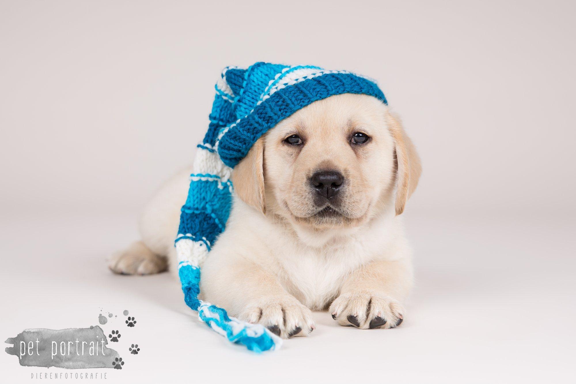 Hondenfotograaf Hillegom - Nestfotoshoot voor Labrador pups-21