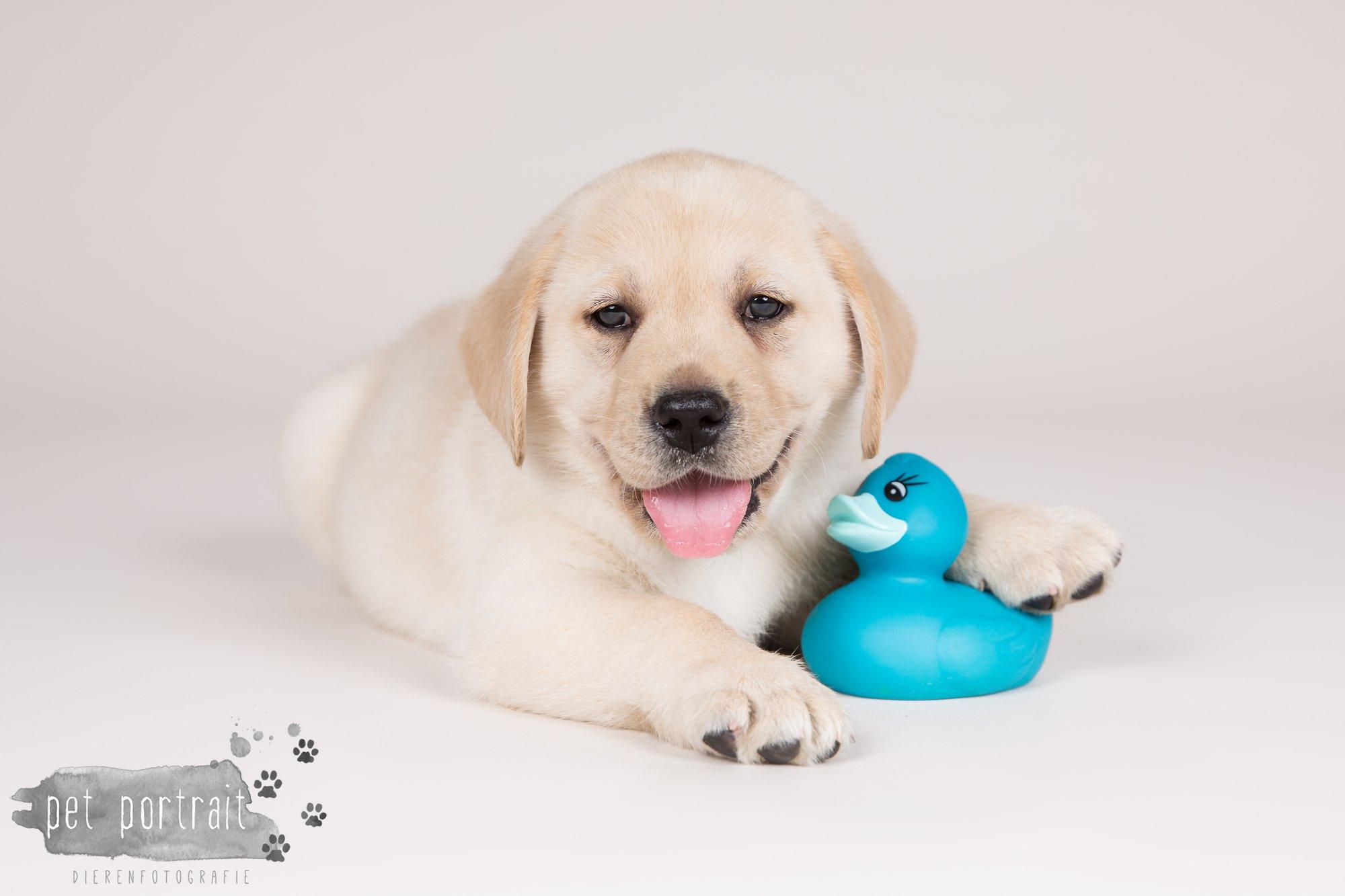 Hondenfotograaf Hillegom - Nestfotoshoot voor Labrador pups-22