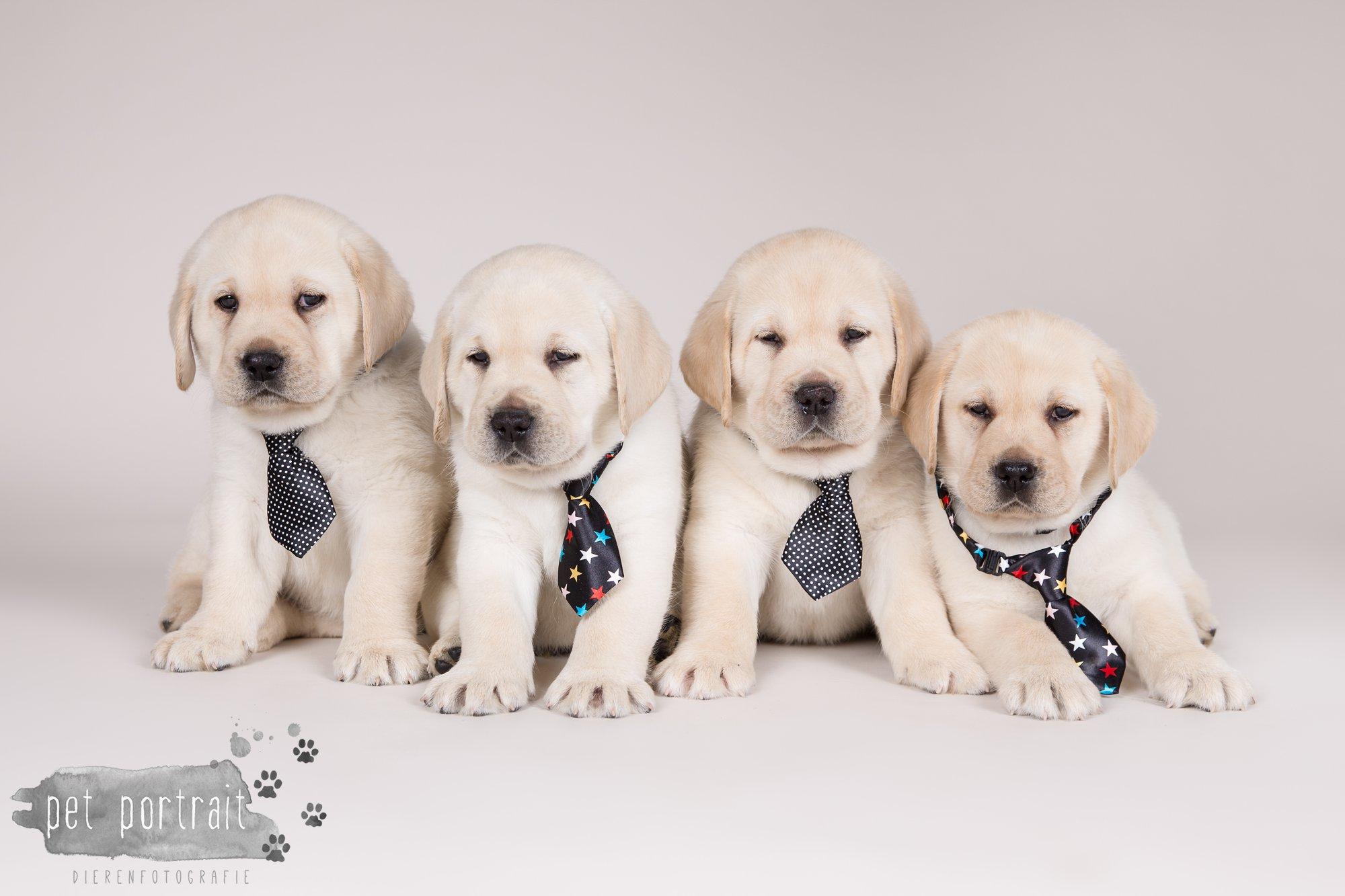 Hondenfotograaf Hillegom - Nestfotoshoot voor Labrador pups-23