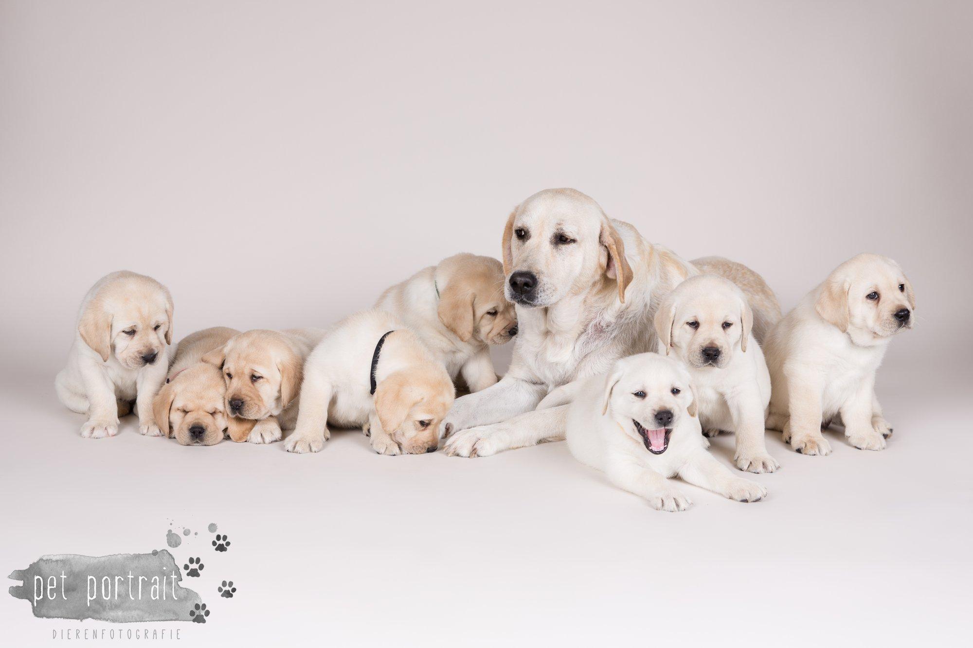Hondenfotograaf Hillegom - Nestfotoshoot voor Labrador pups-24