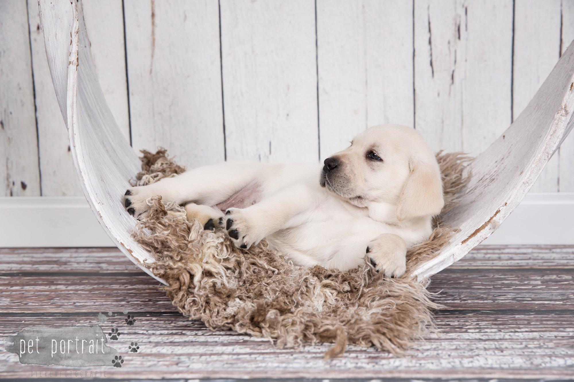 Hondenfotograaf Hillegom - Nestfotoshoot voor Labrador pups-26