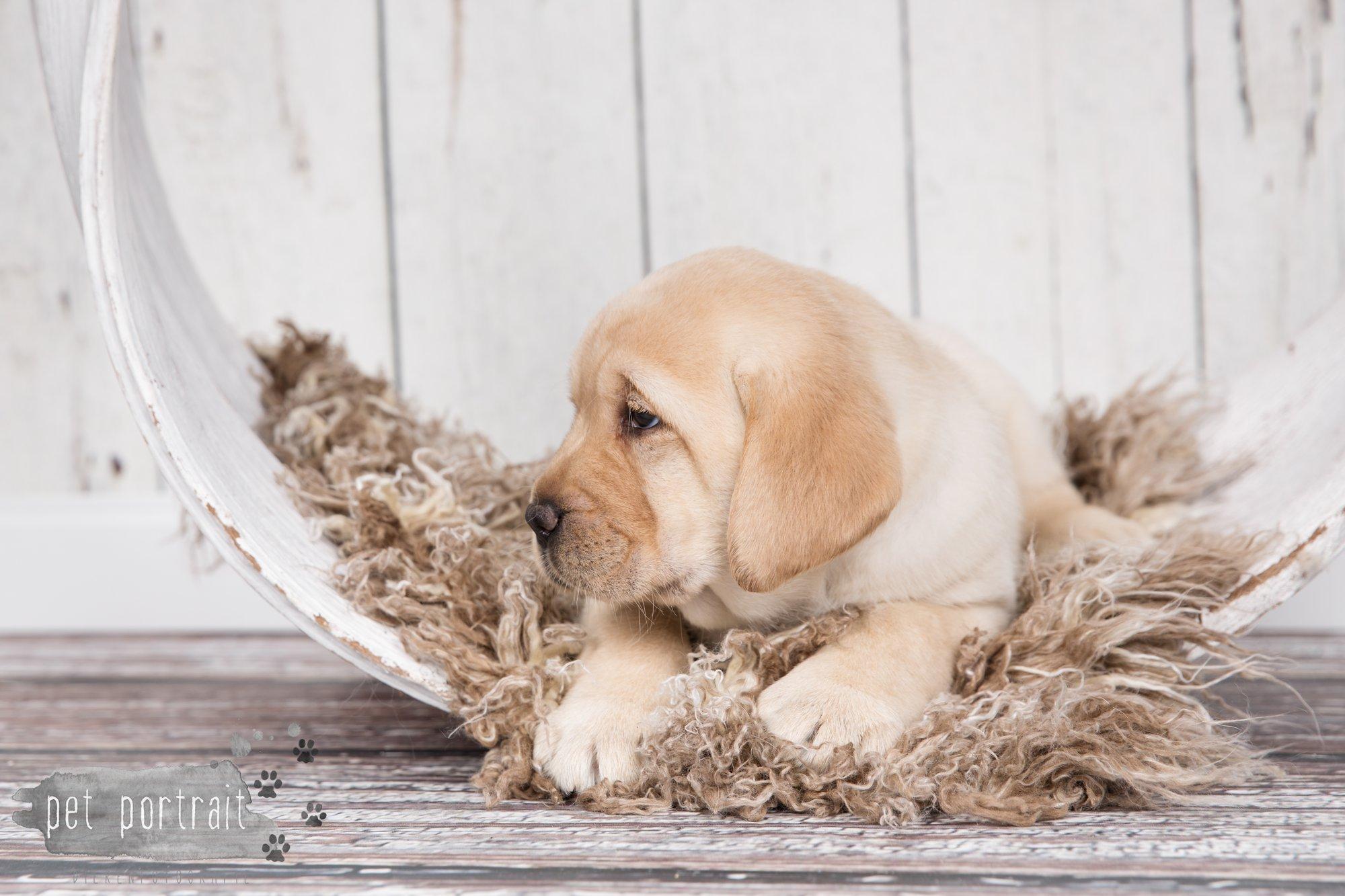 Hondenfotograaf Hillegom - Nestfotoshoot voor Labrador pups-27