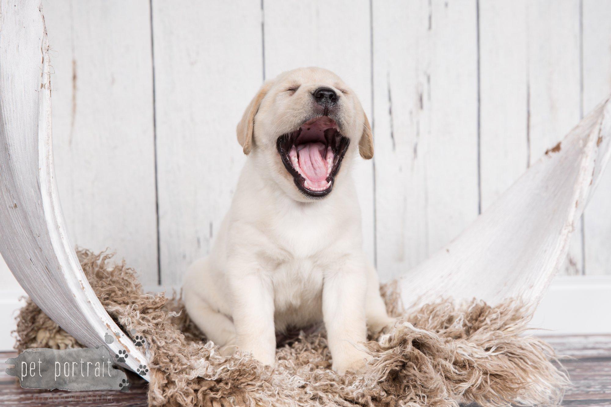 Hondenfotograaf Hillegom - Nestfotoshoot voor Labrador pups-29