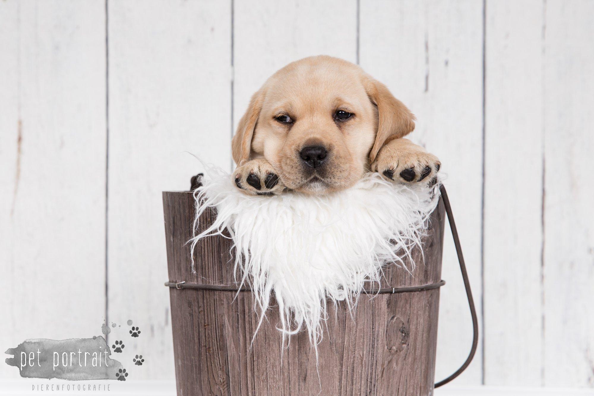 Hondenfotograaf Hillegom - Nestfotoshoot voor Labrador pups-31