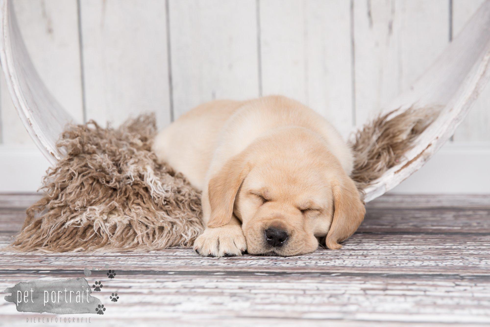 Hondenfotograaf Hillegom - Nestfotoshoot voor Labrador pups-32