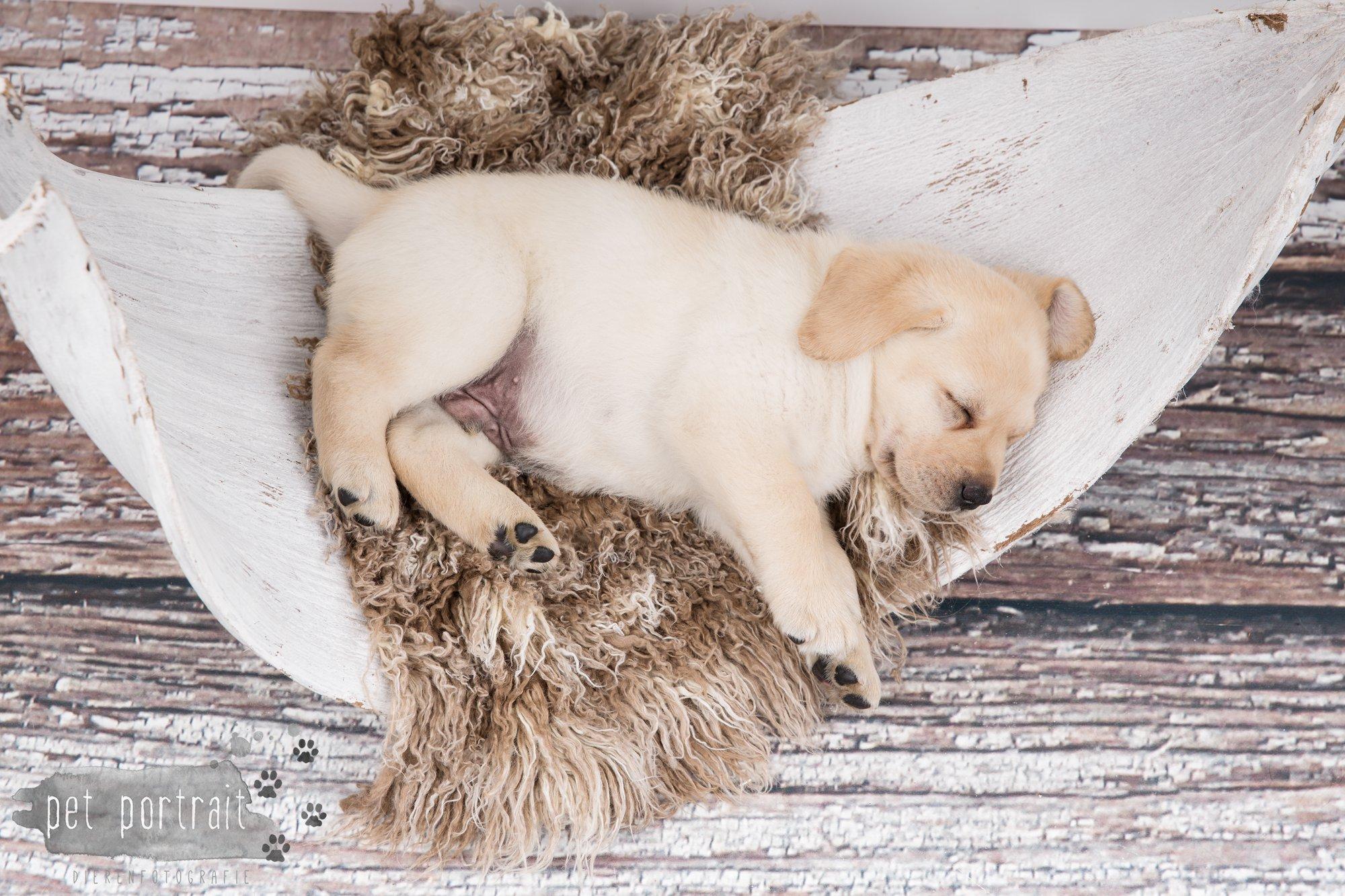 Hondenfotograaf Hillegom - Nestfotoshoot voor Labrador pups-33