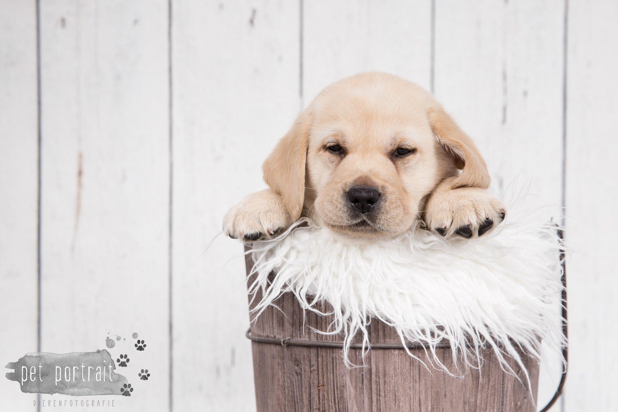 Hondenfotograaf Hillegom - Nestfotoshoot voor Labrador pups-34