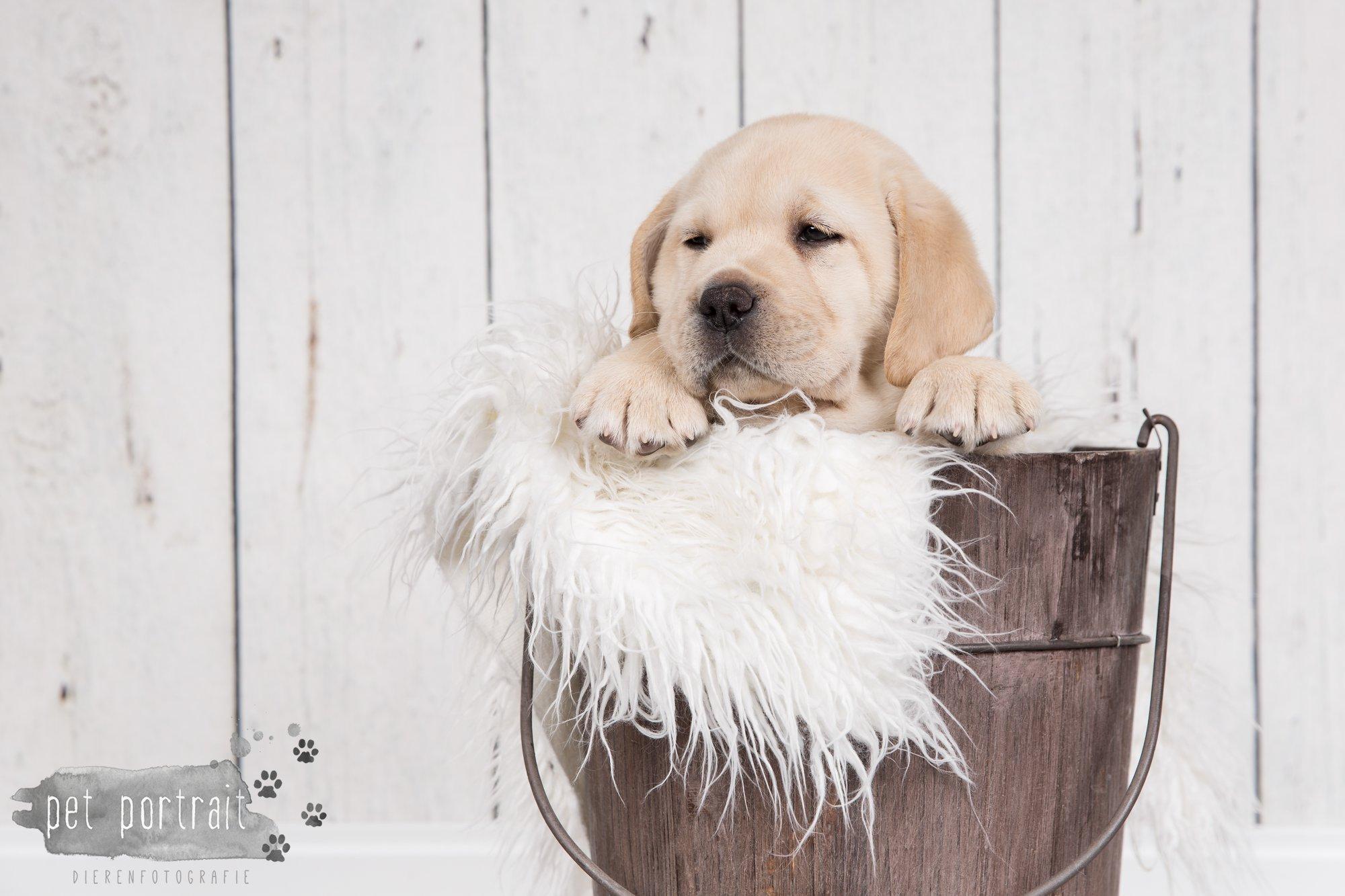 Hondenfotograaf Hillegom - Nestfotoshoot voor Labrador pups-35
