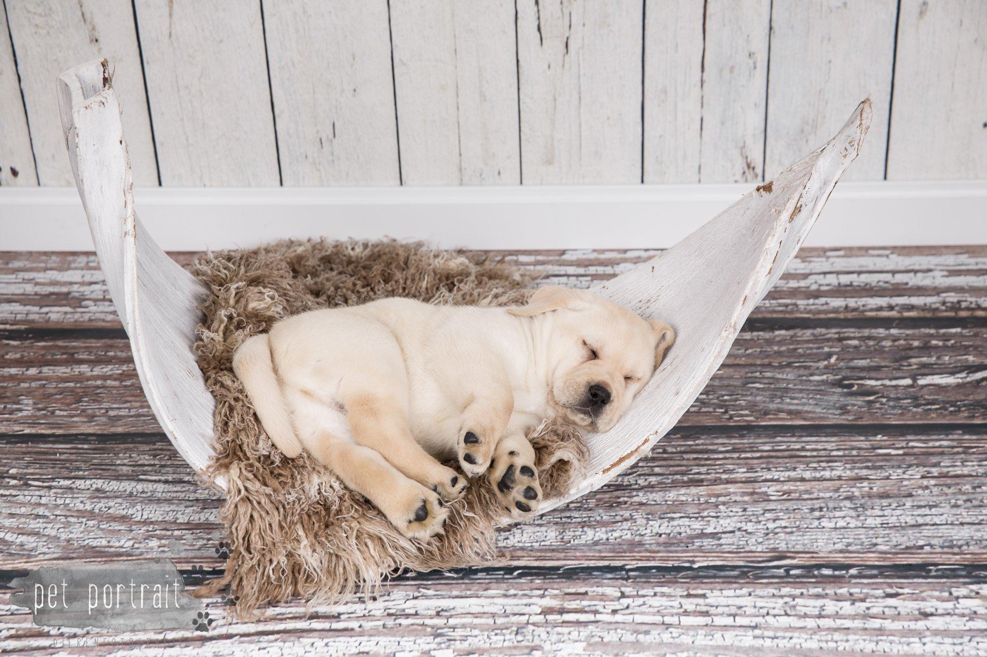 Hondenfotograaf Hillegom - Nestfotoshoot voor Labrador pups-36
