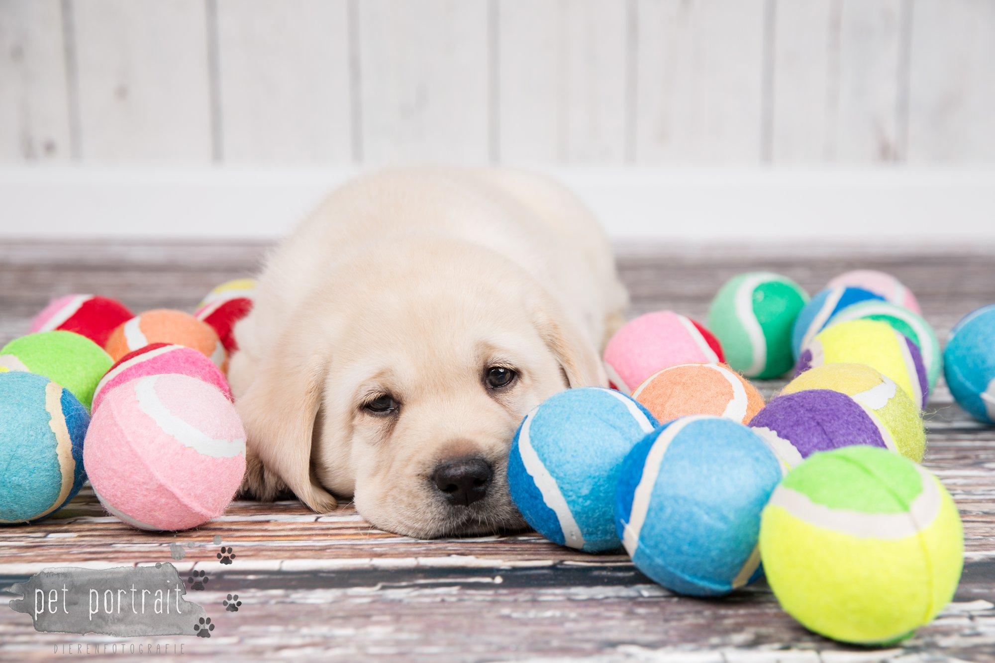 Hondenfotograaf Hillegom - Nestfotoshoot voor Labrador pups-37