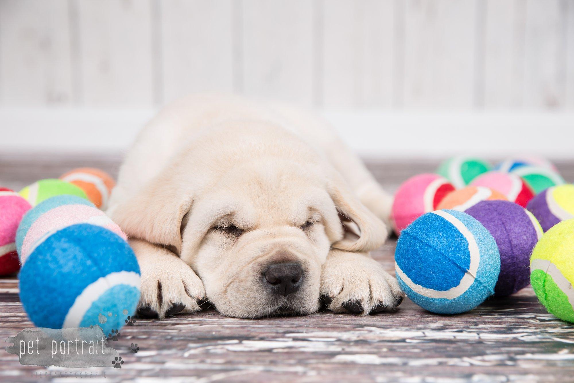 Hondenfotograaf Hillegom - Nestfotoshoot voor Labrador pups-39