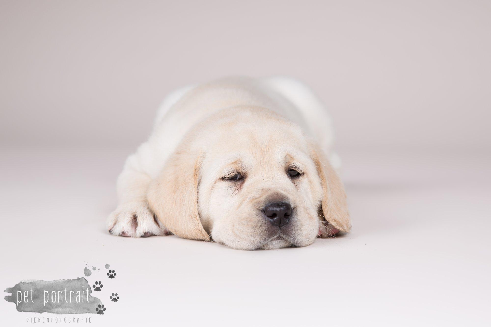 Hondenfotograaf Hillegom - Nestfotoshoot voor Labrador pups-4