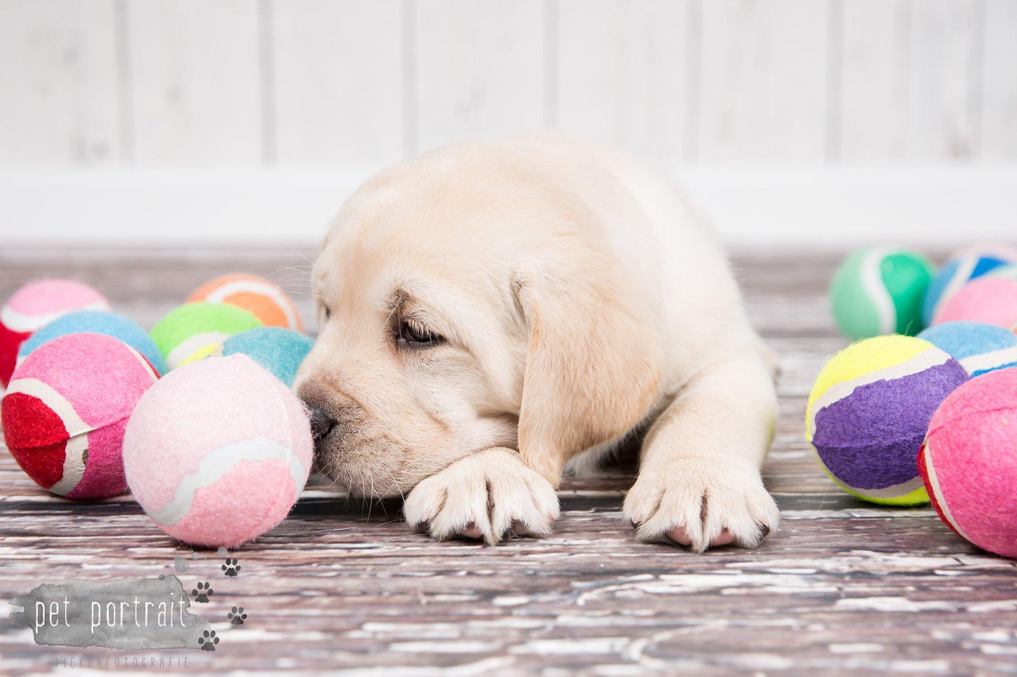 Hondenfotograaf Hillegom - Nestfotoshoot voor Labrador pups-40
