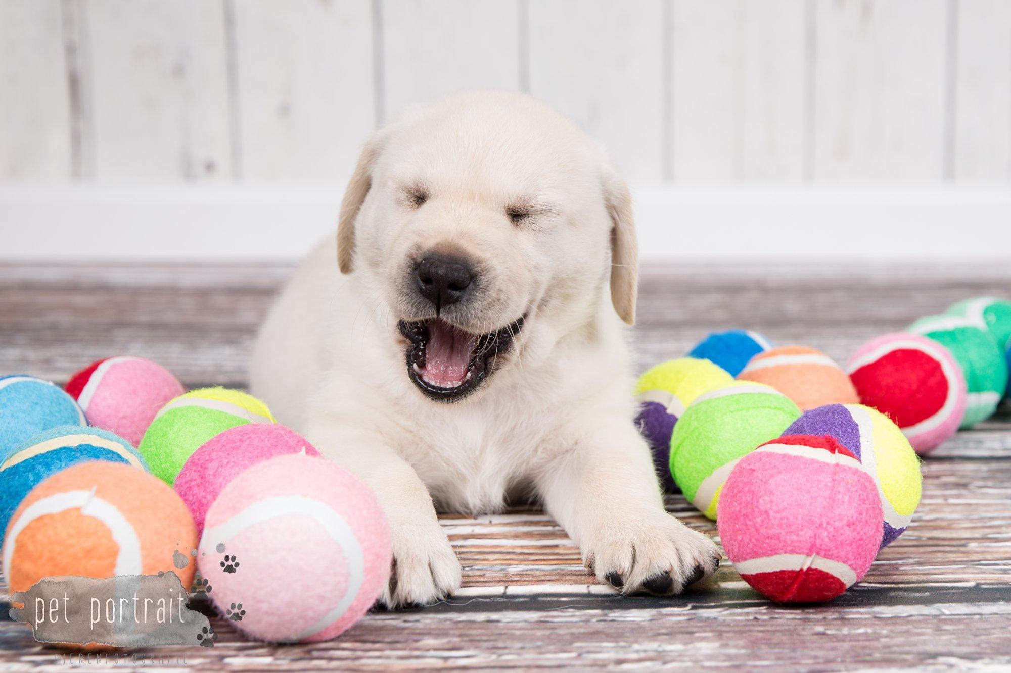 Hondenfotograaf Hillegom - Nestfotoshoot voor Labrador pups-41