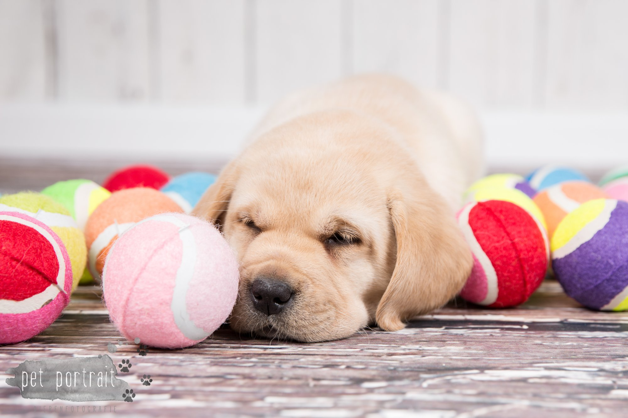 Hondenfotograaf Hillegom - Nestfotoshoot voor Labrador pups-42