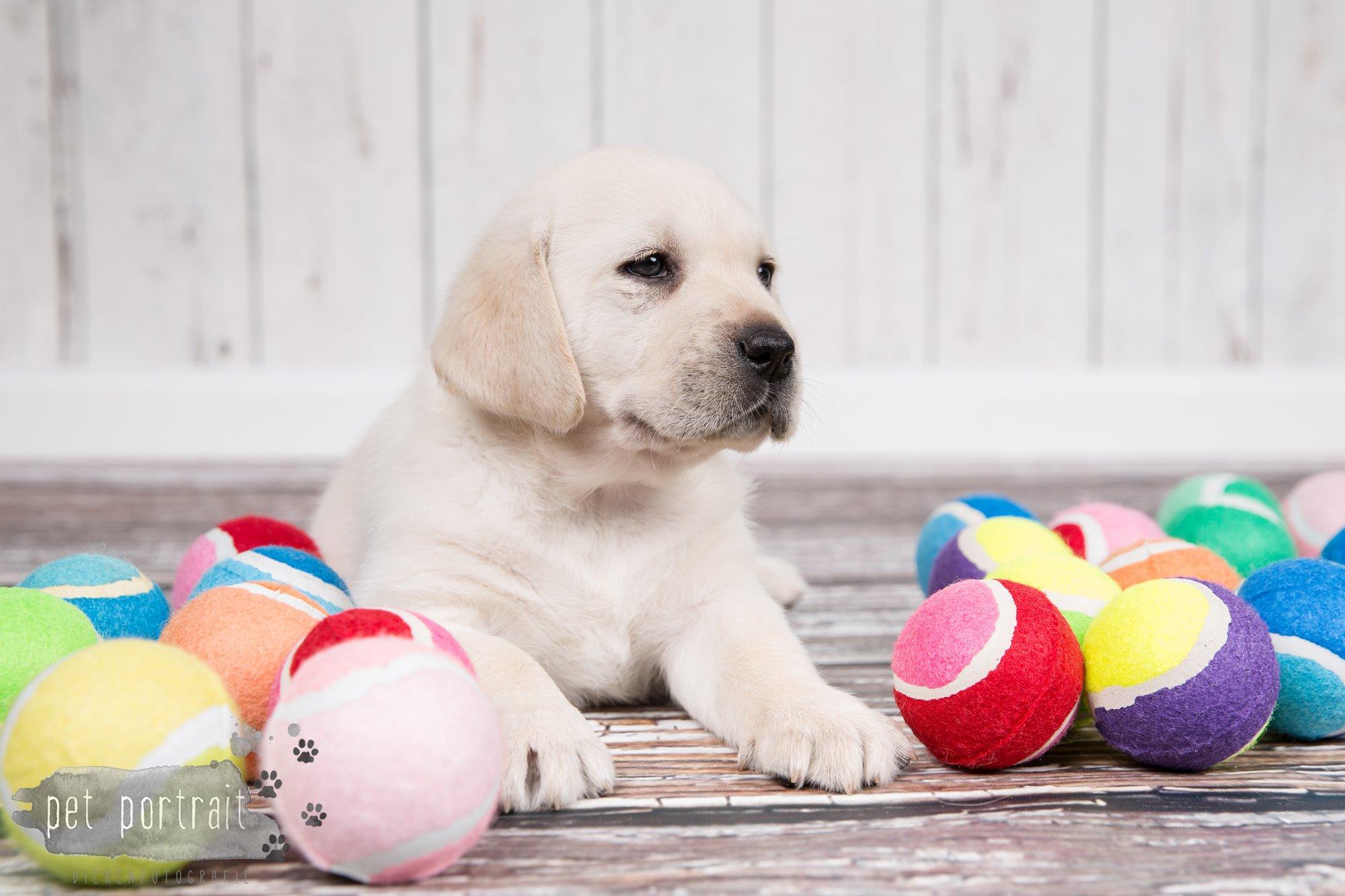 Hondenfotograaf Hillegom - Nestfotoshoot voor Labrador pups-43