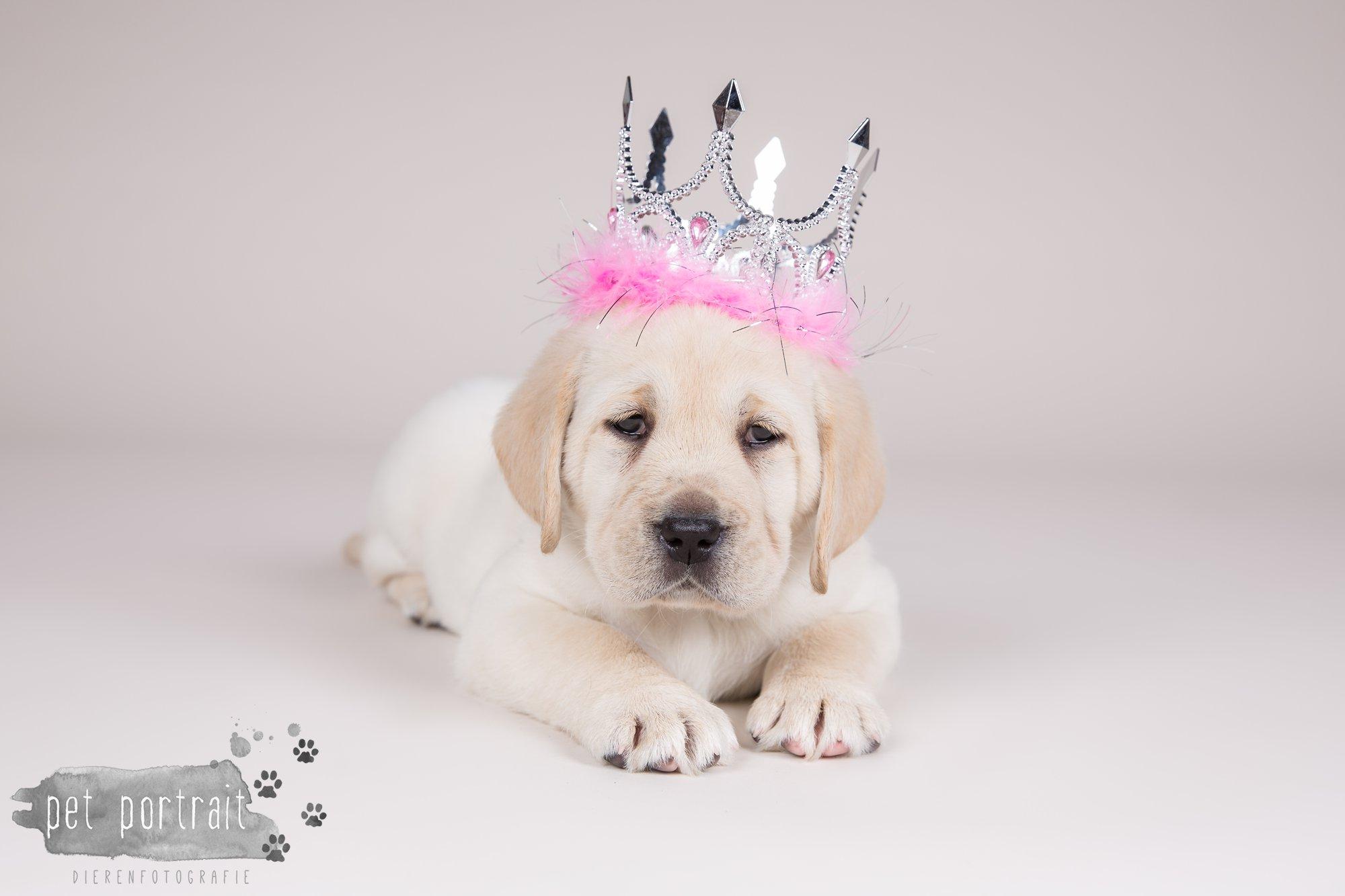 Hondenfotograaf Hillegom - Nestfotoshoot voor Labrador pups-5