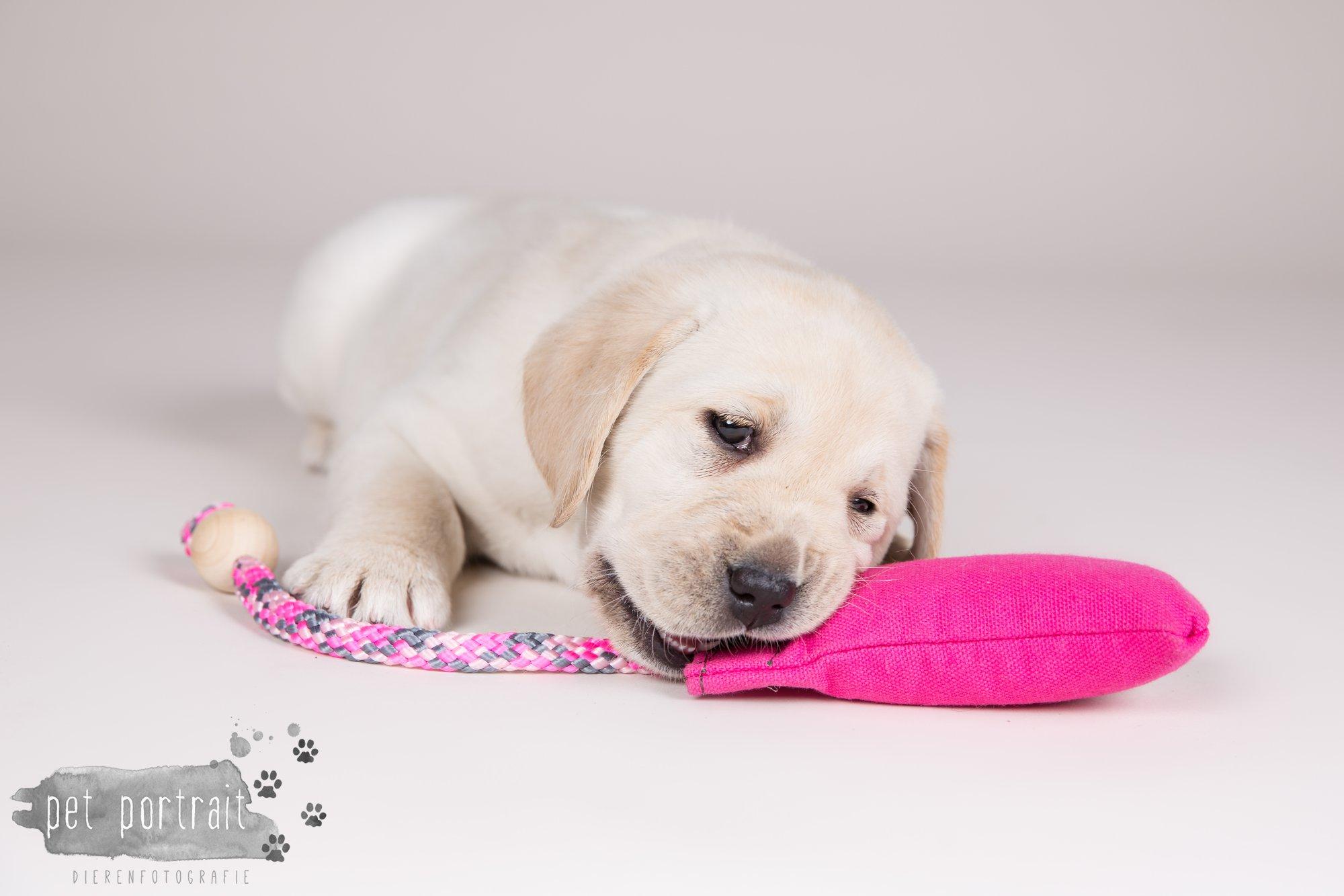 Hondenfotograaf Hillegom - Nestfotoshoot voor Labrador pups-6